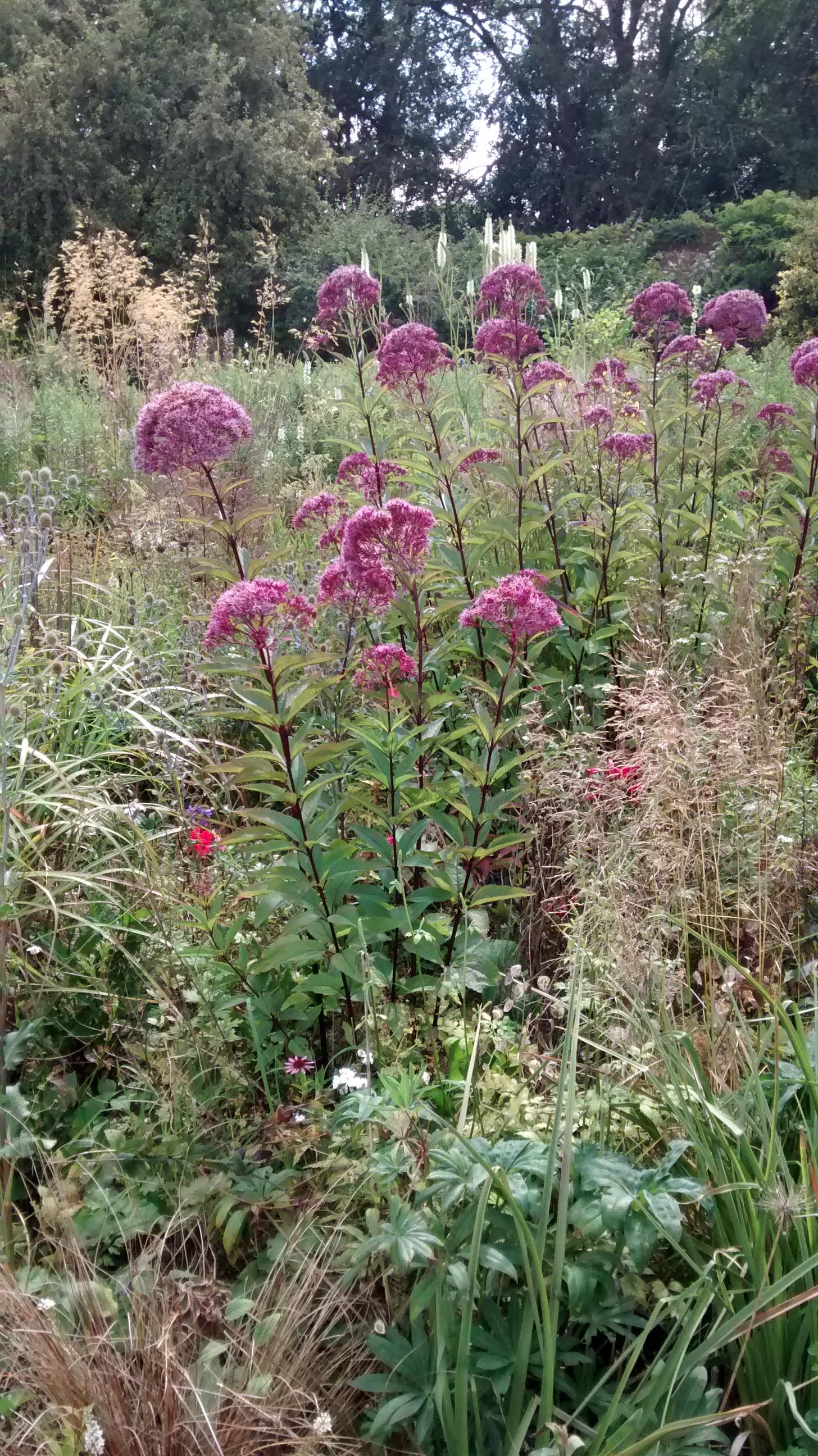 Eupatorium purpureum subsp. maculatum (Atropurpureum Group) 'Riesenschirm'