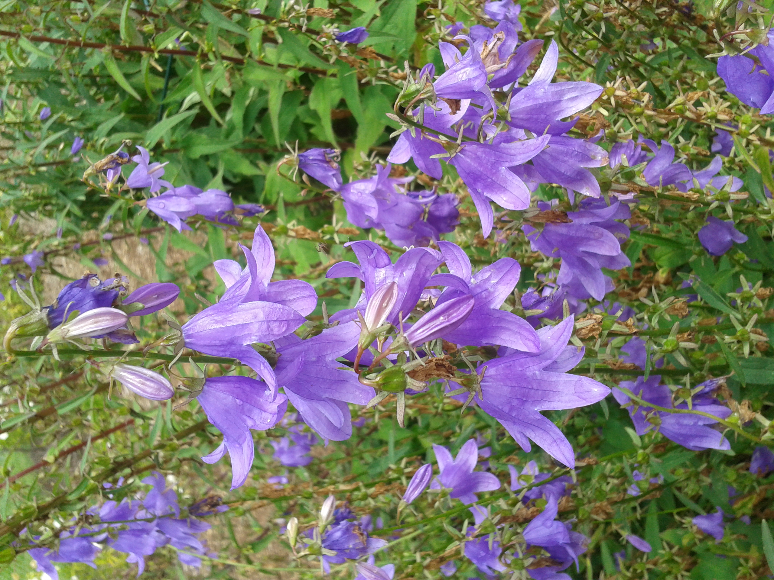 Campanula violet-blue selection (subject to naming/availability)