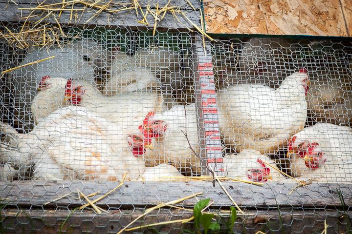 ChickenS-01.jpg