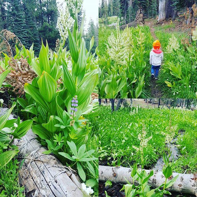 #exploring  #toddlertravel #toddler #meadow #brook #wildflowers #hiking #nature #nationalpark #green #🌲 #latergram #offthegrid #camping