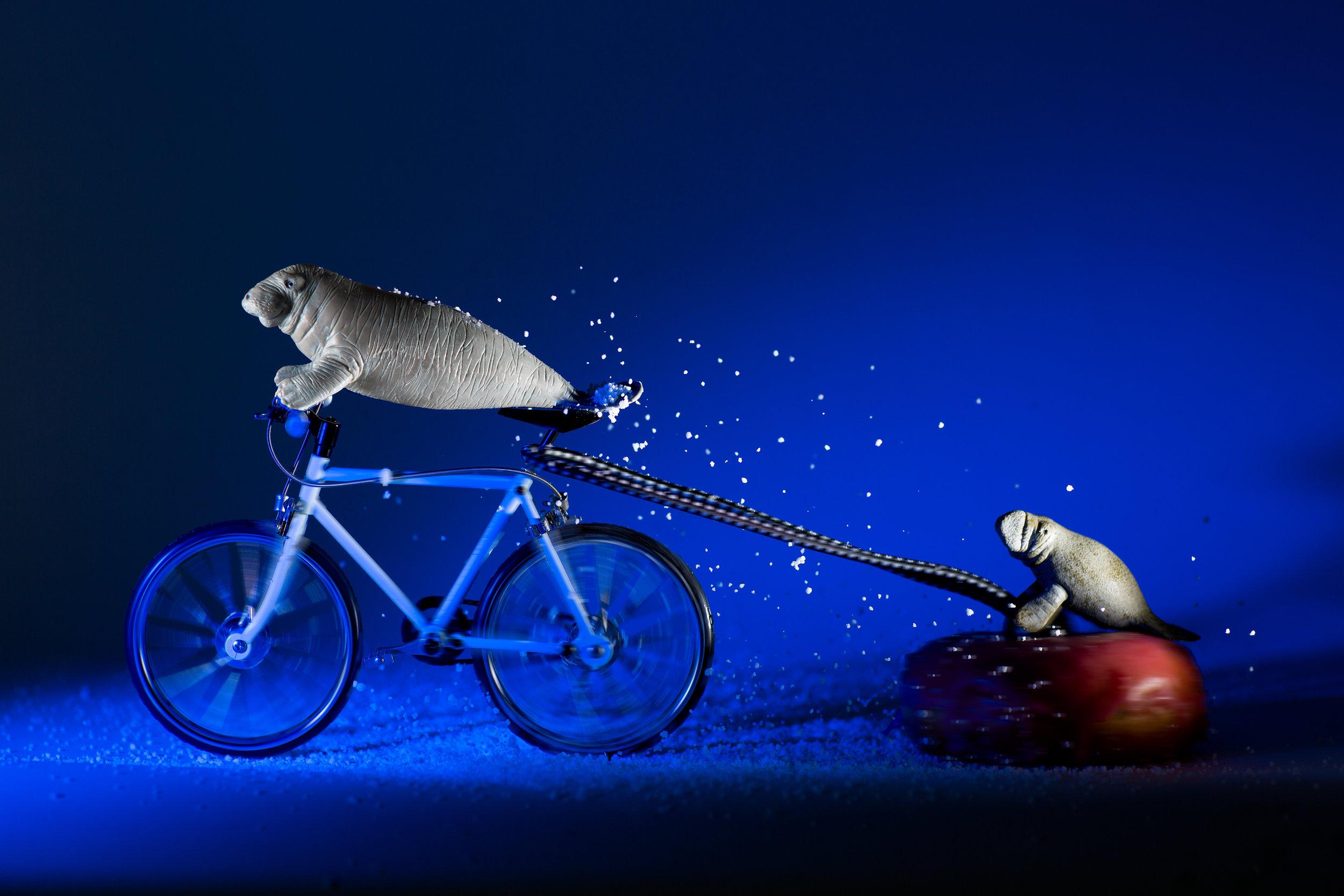 Manatee Cub Pulled by Bike