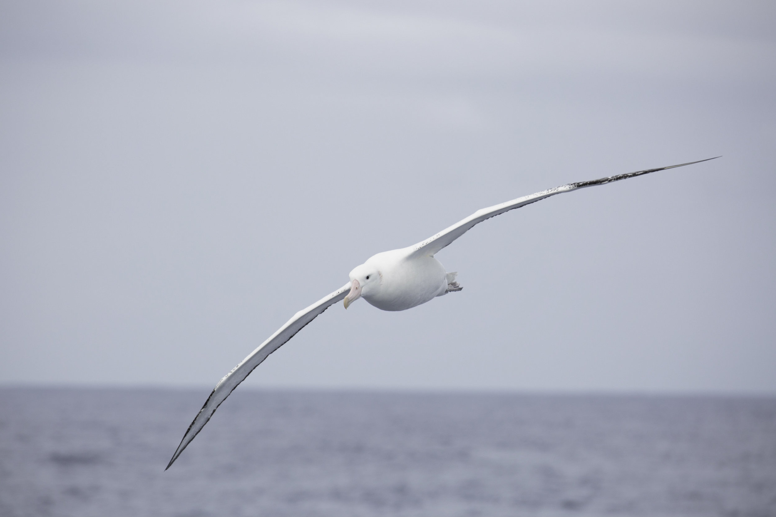 A royal albatross follows the Ocean Nova across the Drake Passage.