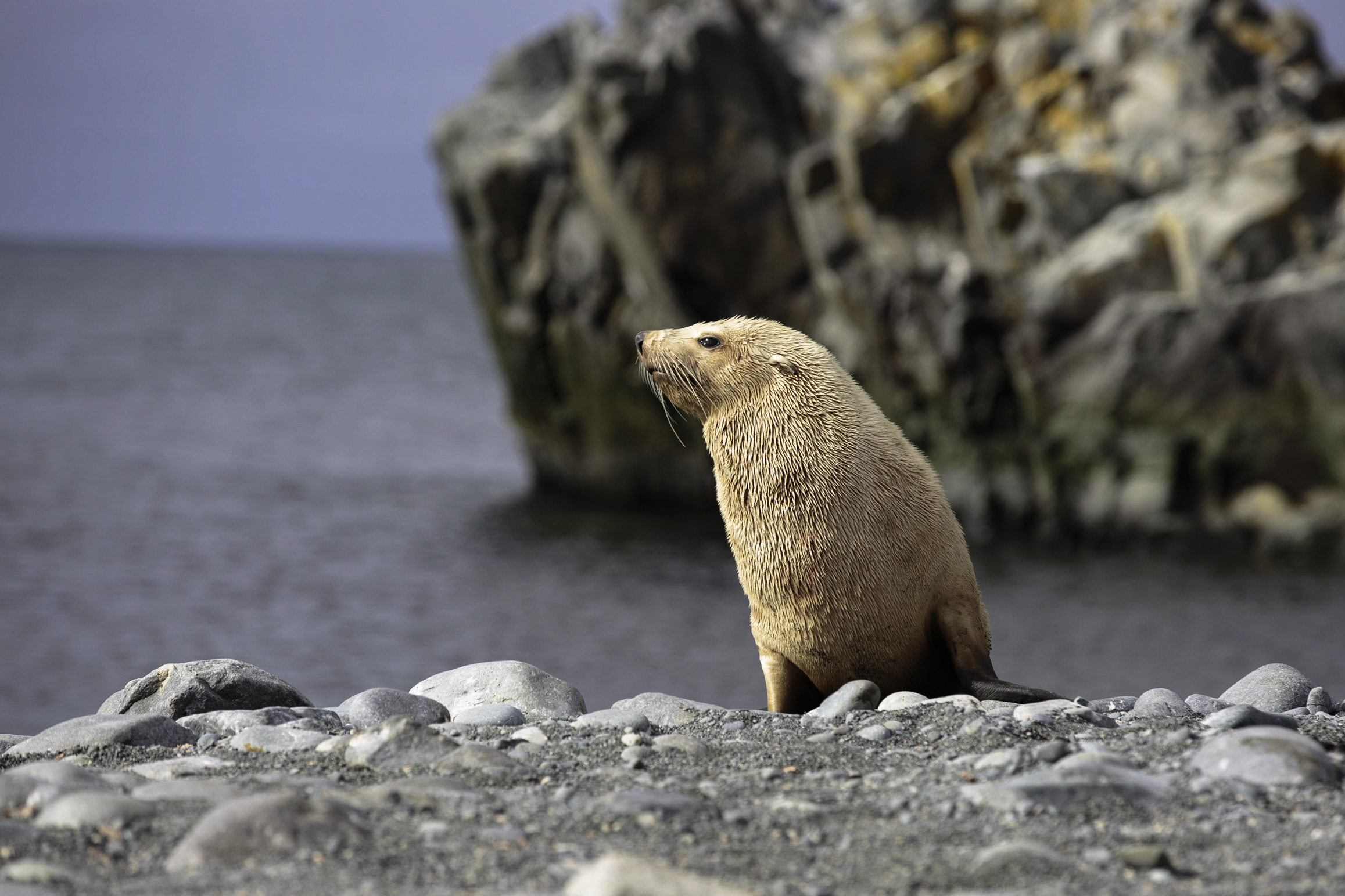 A very rare, blonde fur seal.