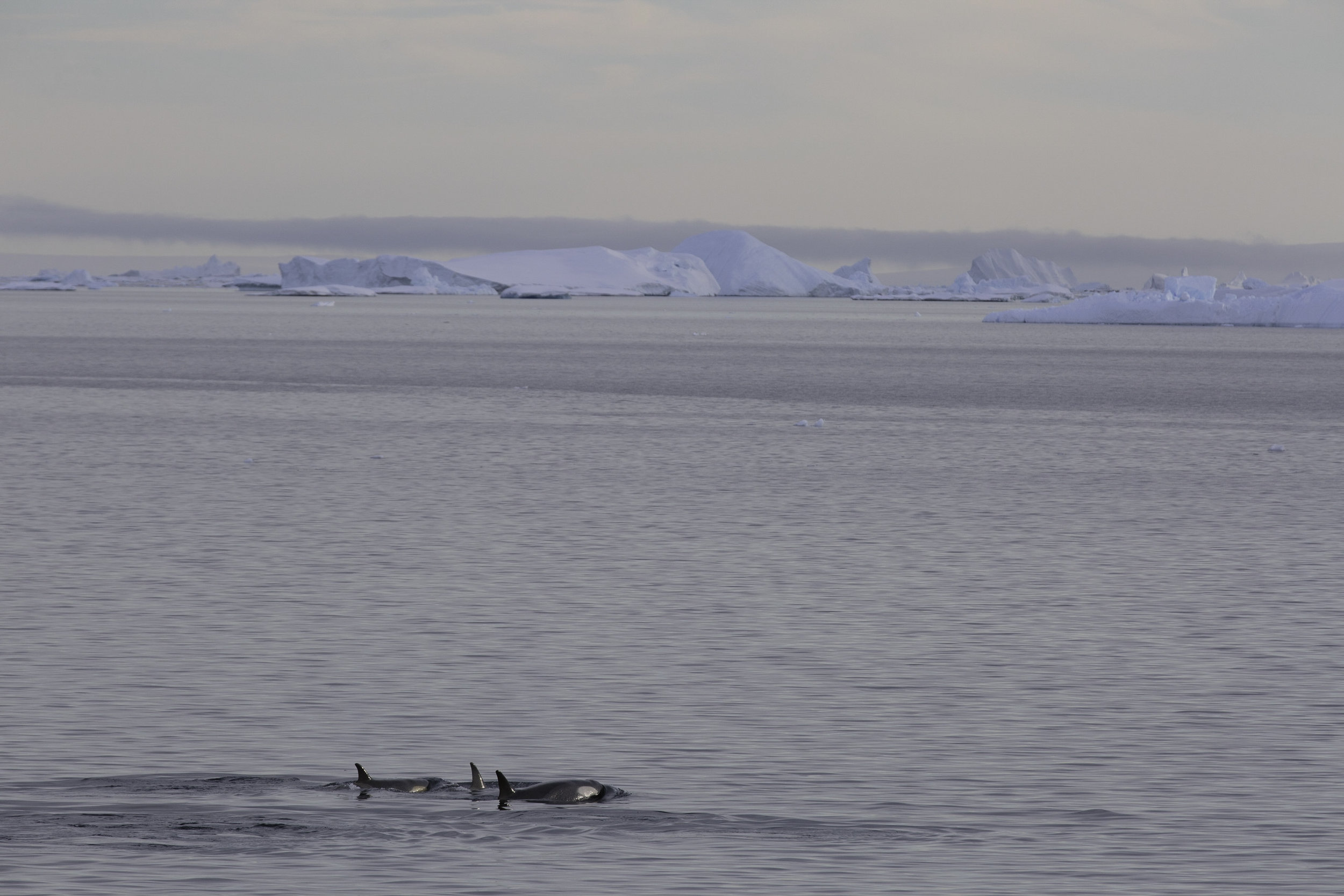 One of four ecotypes of Killer Whale in Antarctica, this group of three Type-A's from a larger pod swim past the ship.