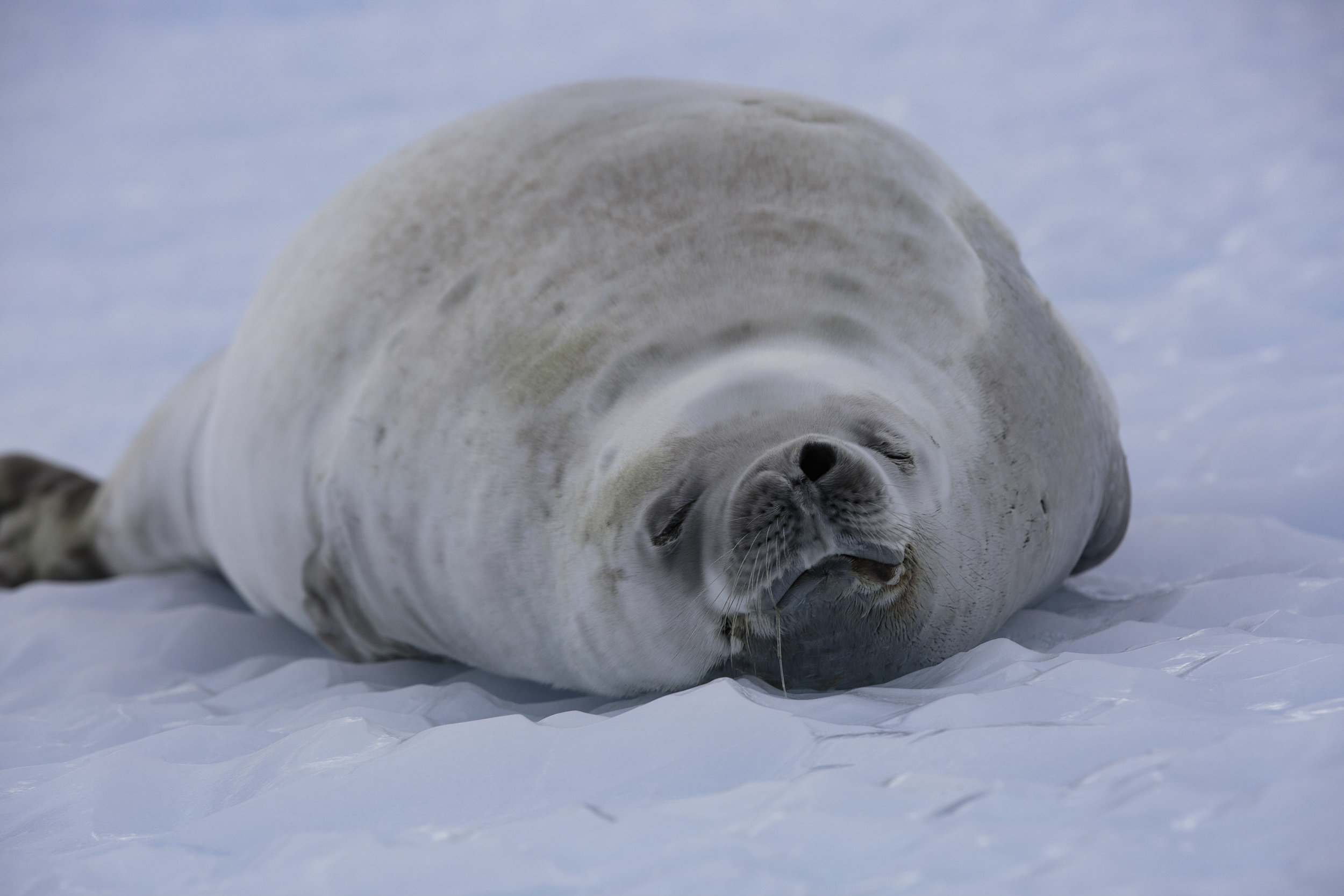 Did you know that a seals resting position is to have its nostrils closed? It makes sense as it lives under water most of its life, only needing to open a nostril when it needs to breathe. This crabeater seal takes a nap.