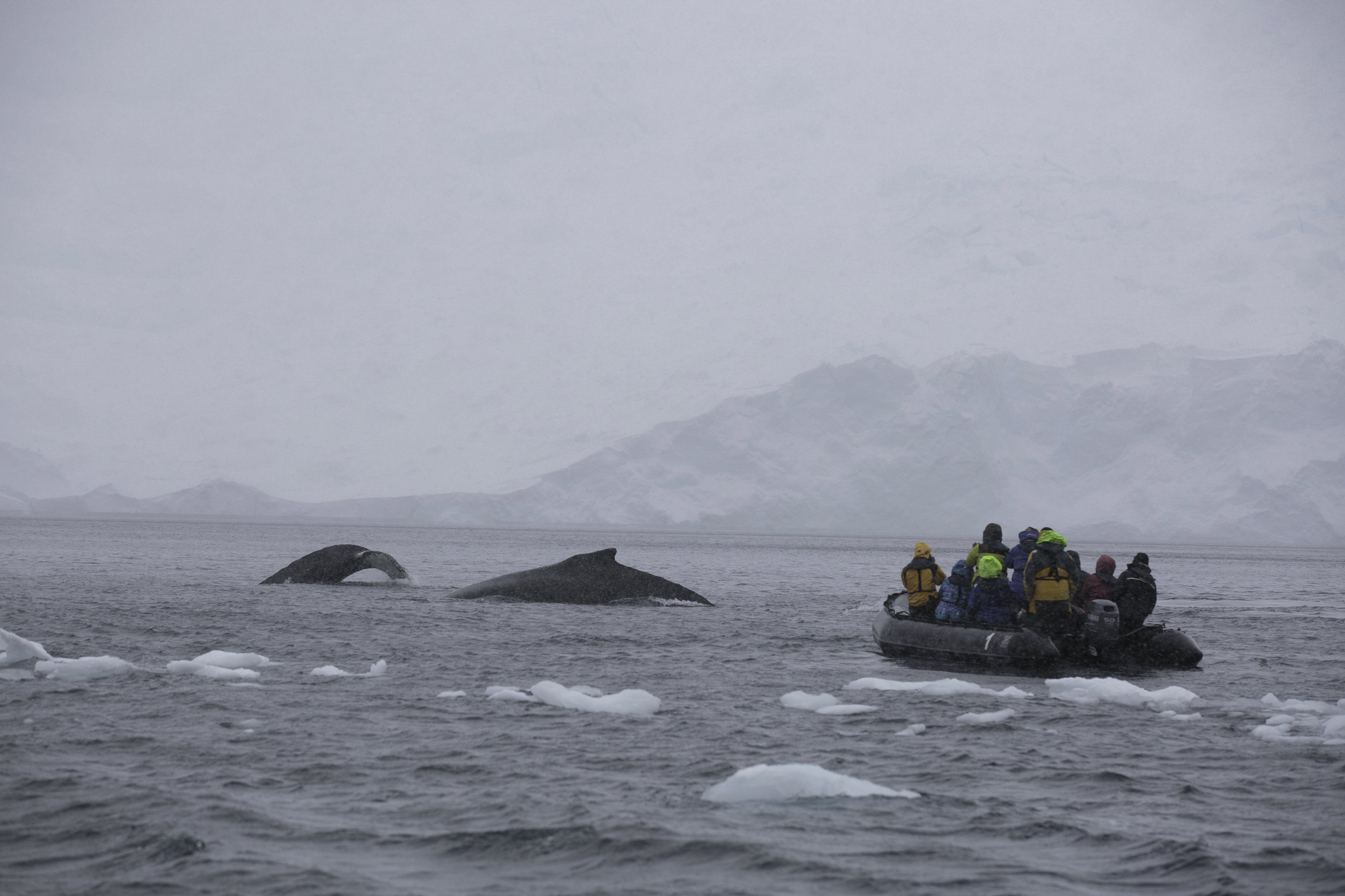 Two humpbacks meaner past a zodiac full of guests.