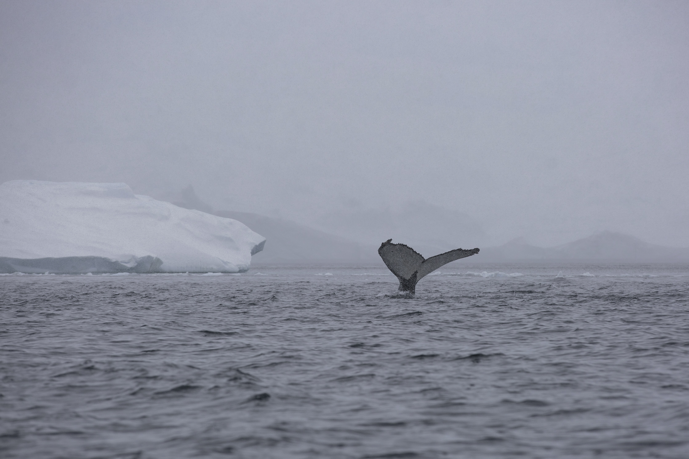 A humpback dives deep in Orne Harbour.
