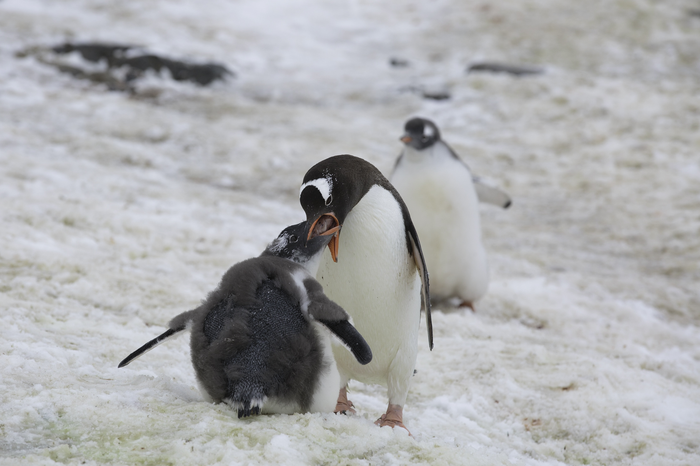 Zoom in and you'll see the large pocket of food (krill, squid, fish), being regurgitated to the young gentoo penguin by its parent.