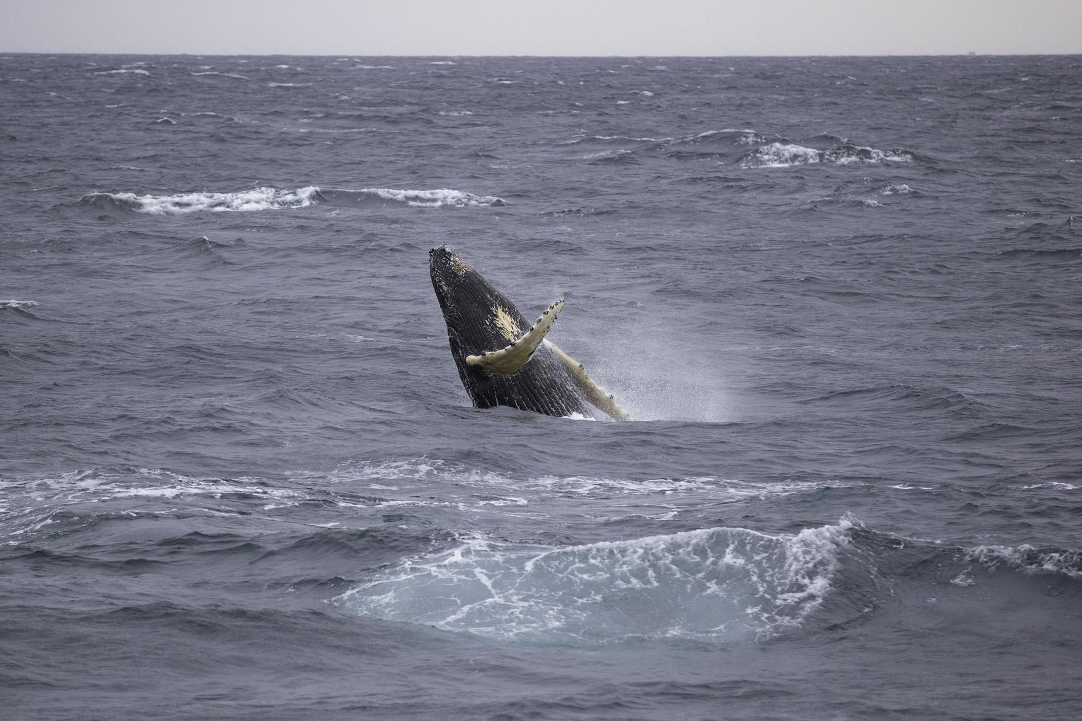 A humpback whale takes a leap.