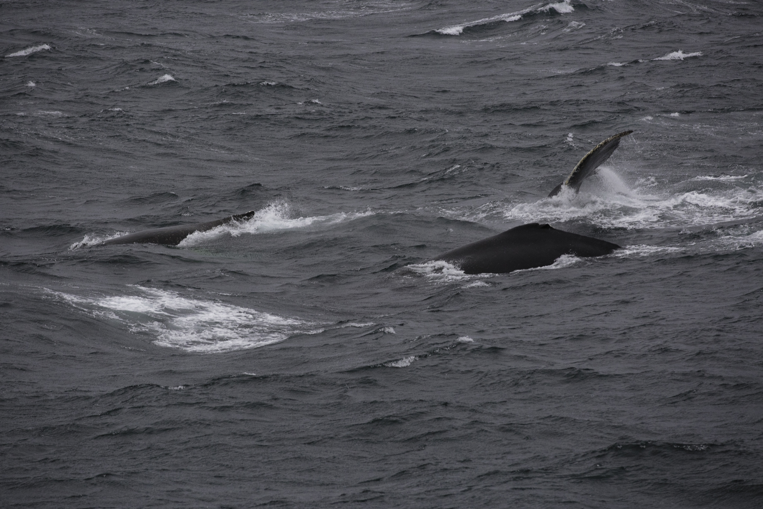 A large group of humpbacks plays in wild wind ripped seas.