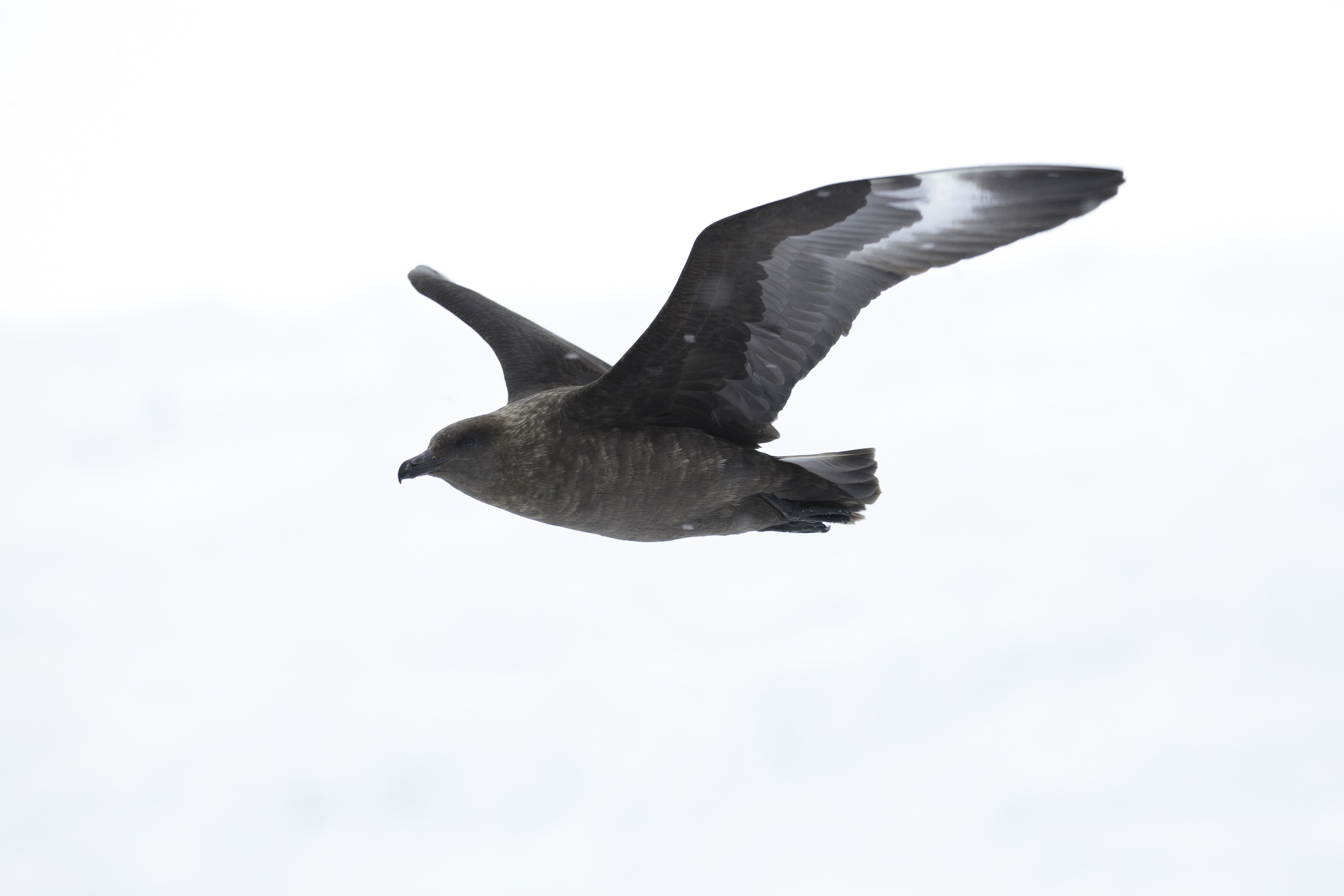 The f-16 fighter jet of Antarctica, a skua cruises on the blustery wind.