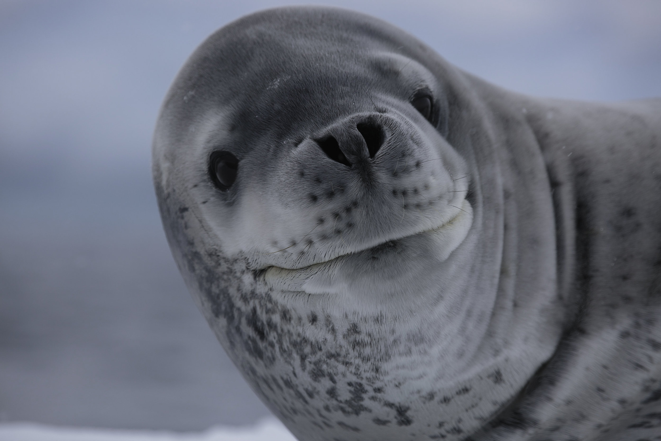 A leopard seal wakes up from a nap and very unconcernedly takes a look at us.