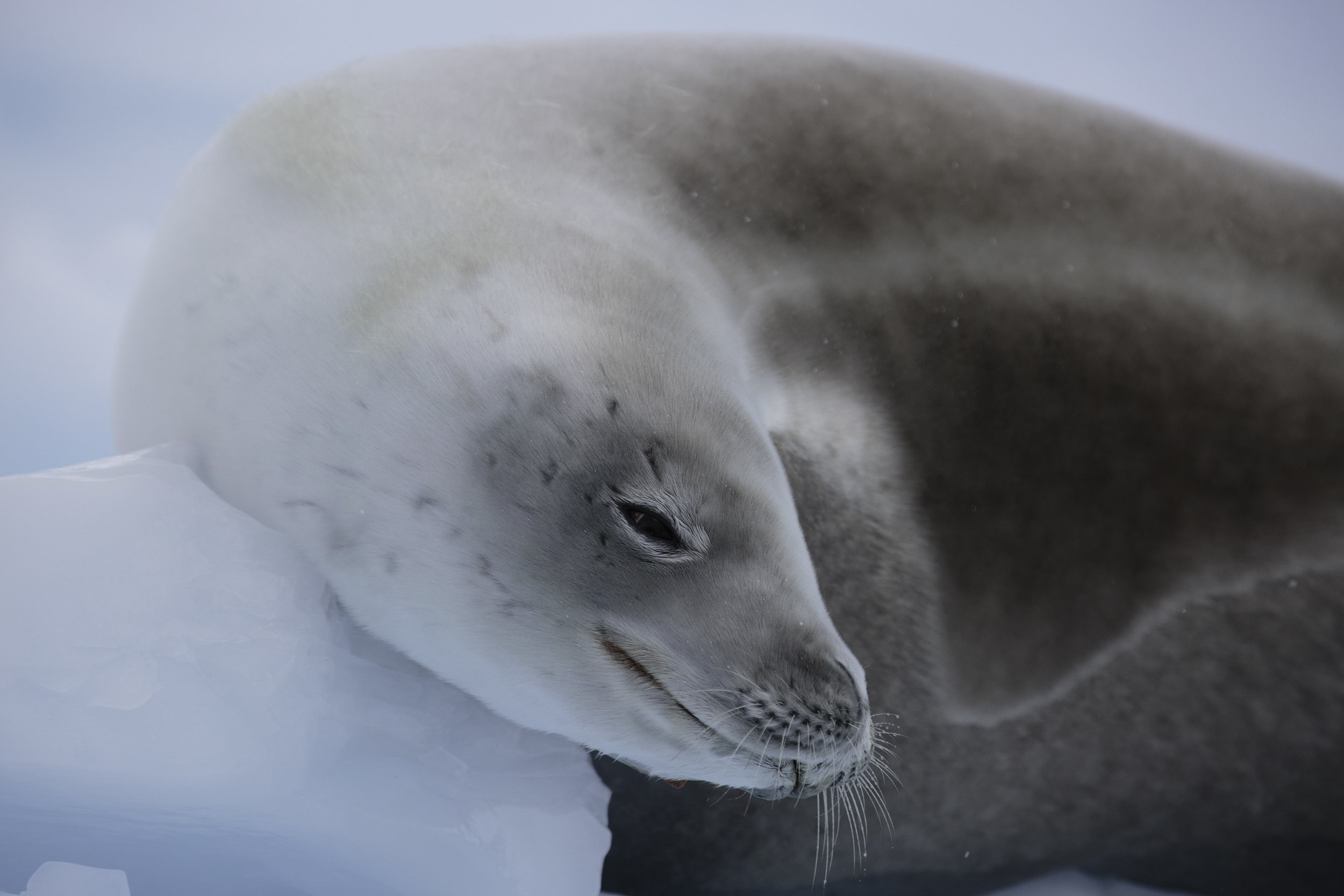 A crab eater seal dries out on some sea ice looking quite warm and cozy.