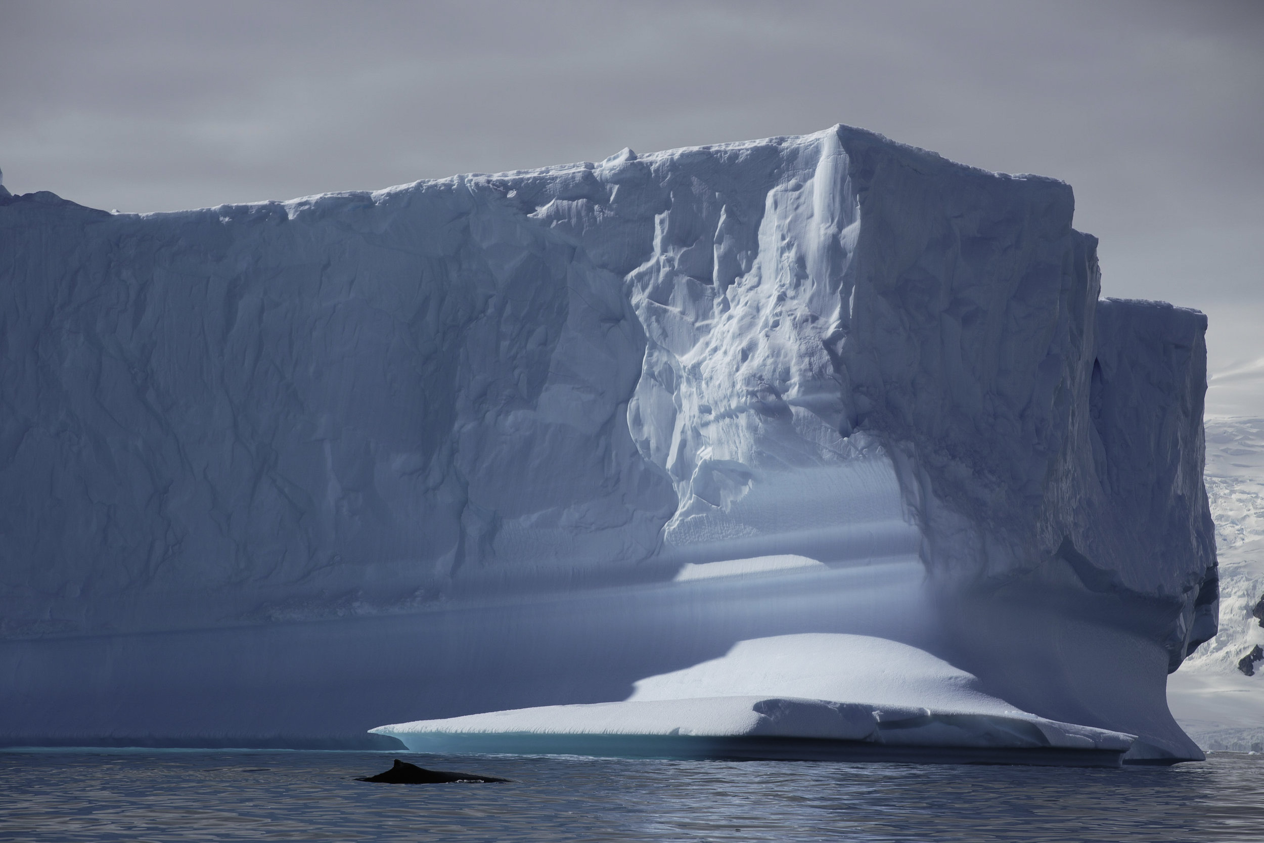A minke whale swims past an iceberg near Portal Point.