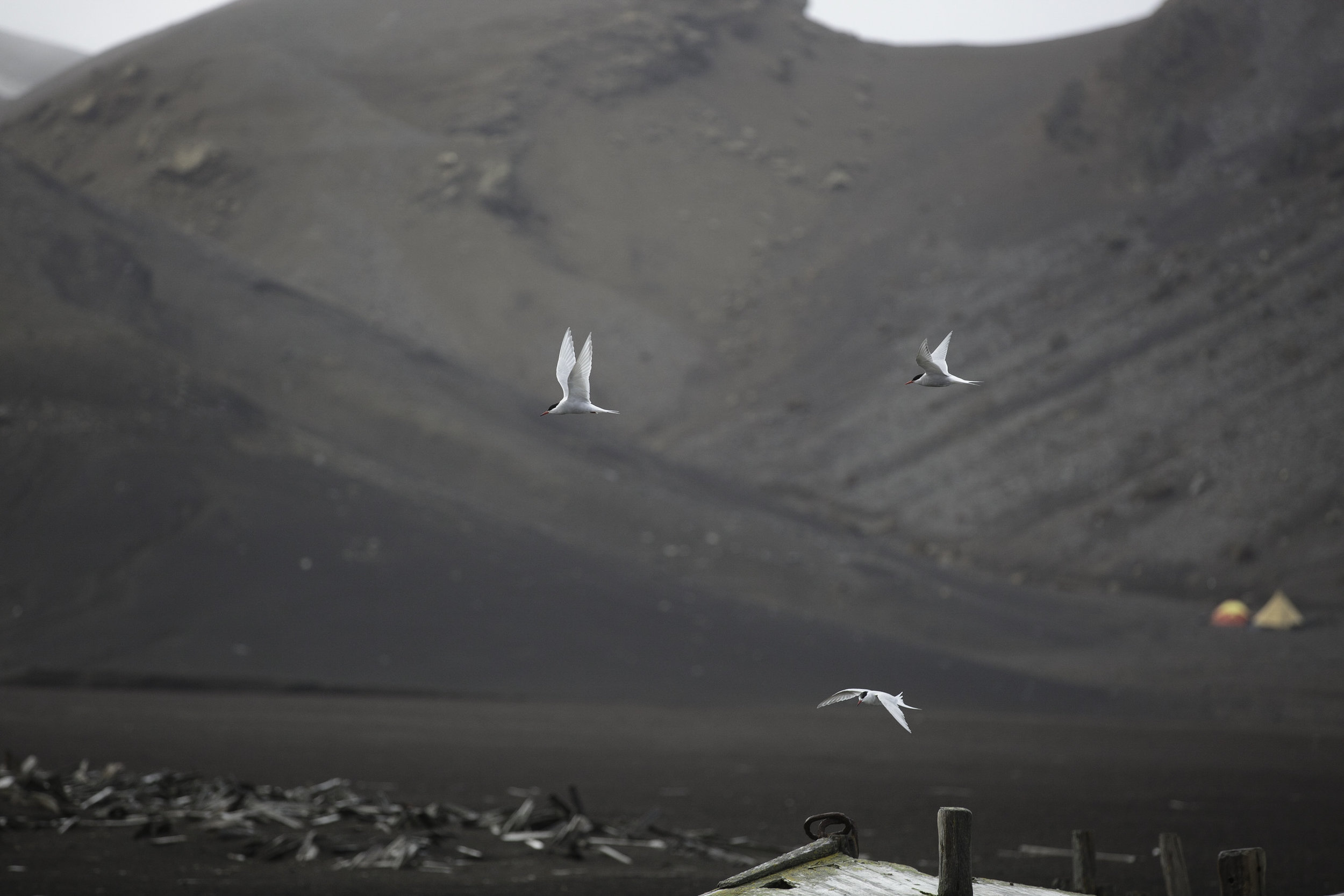 Three arctic terns fly over the remains of an old boat. In the background, what looks like wood is actually whale bones. Further back, two tents from two crazy scientists are perched on the old lava flow of Deception Island.
