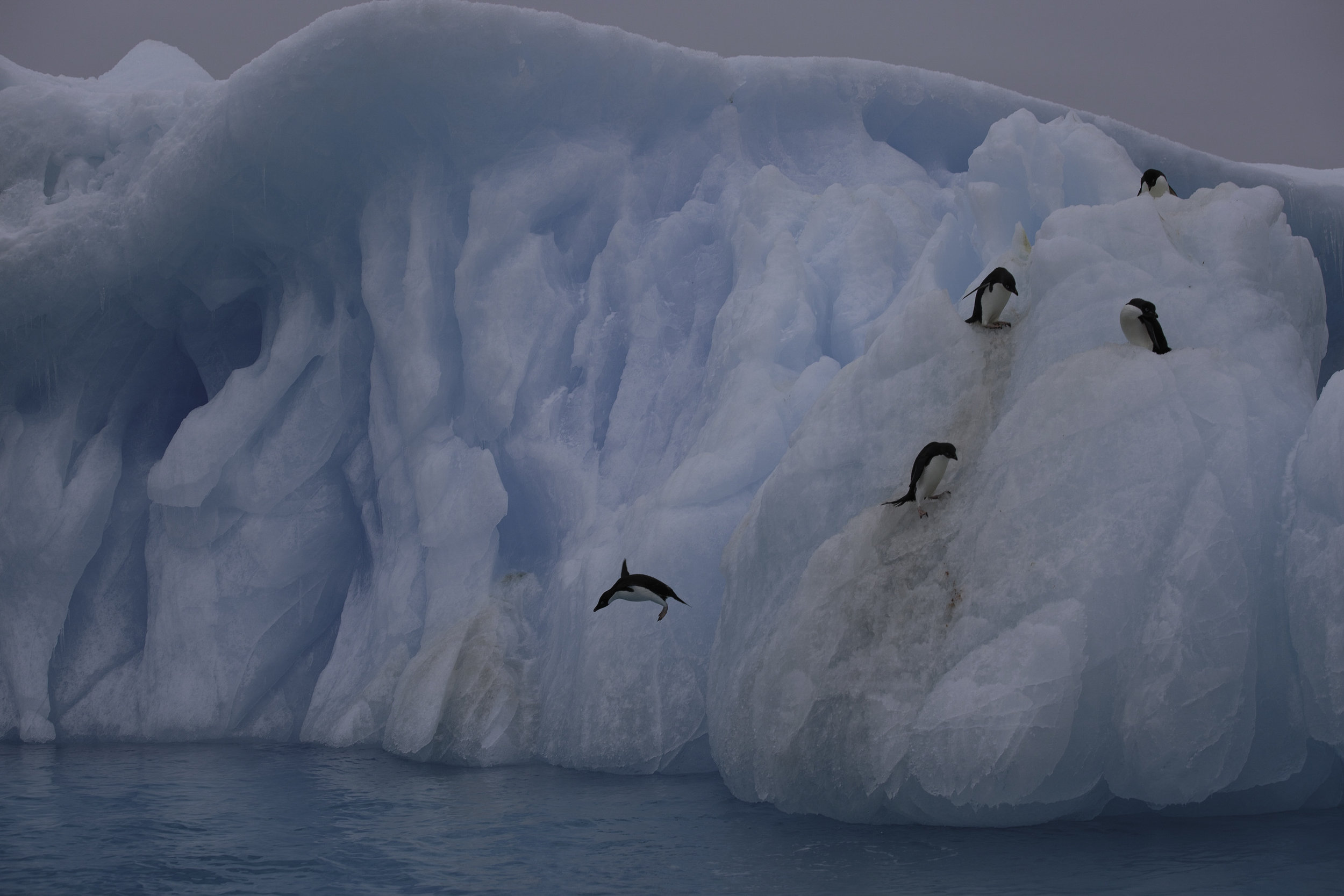Adelie penguins taking a dive. Watching them climb up this rock hard ice by jumping out of the water and using only their feet is fairly impressive.