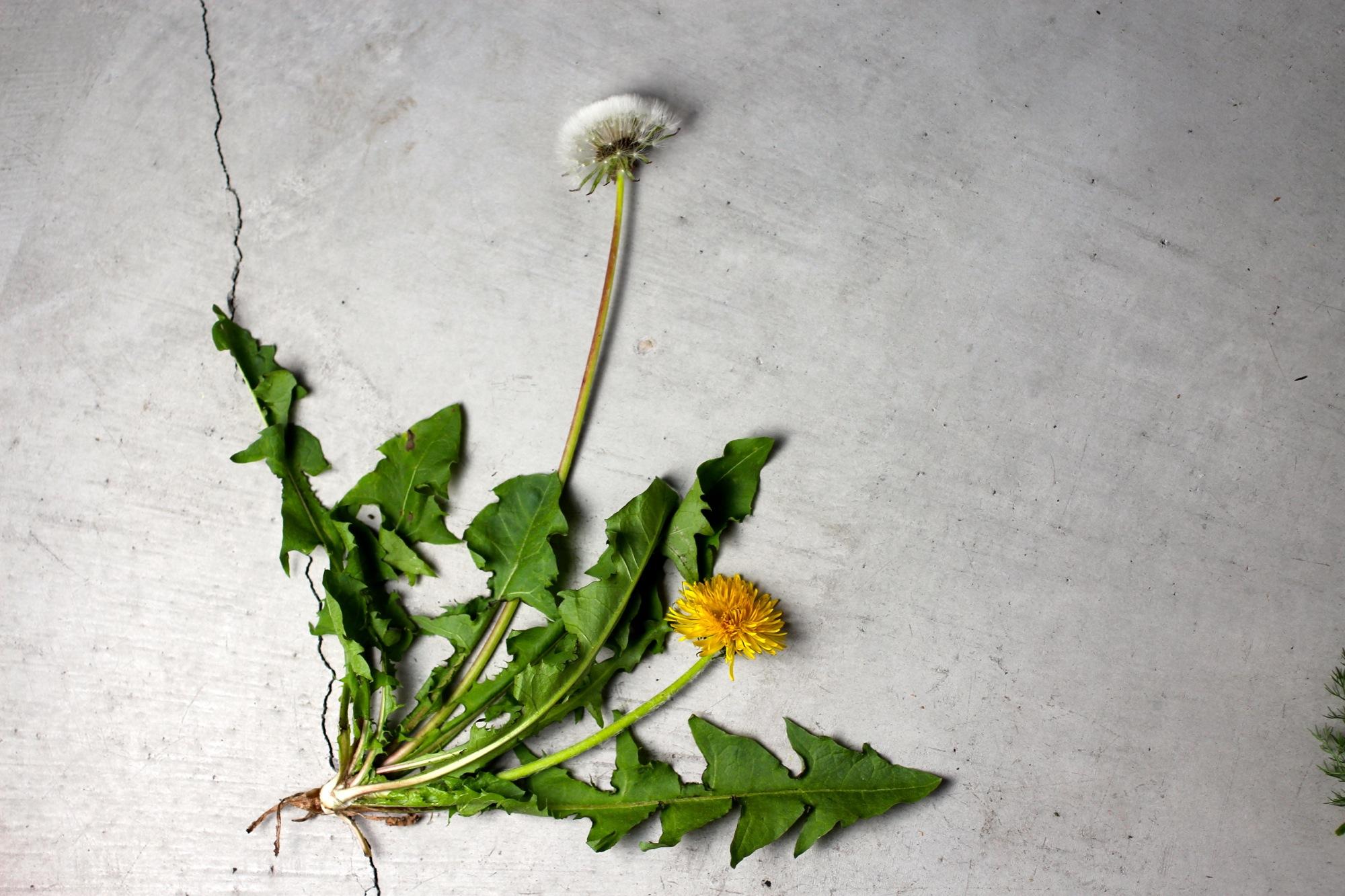 Ubiquitous snack: the humble dandelion