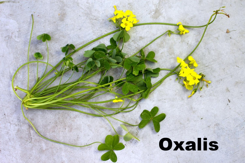 oxalis.jpg