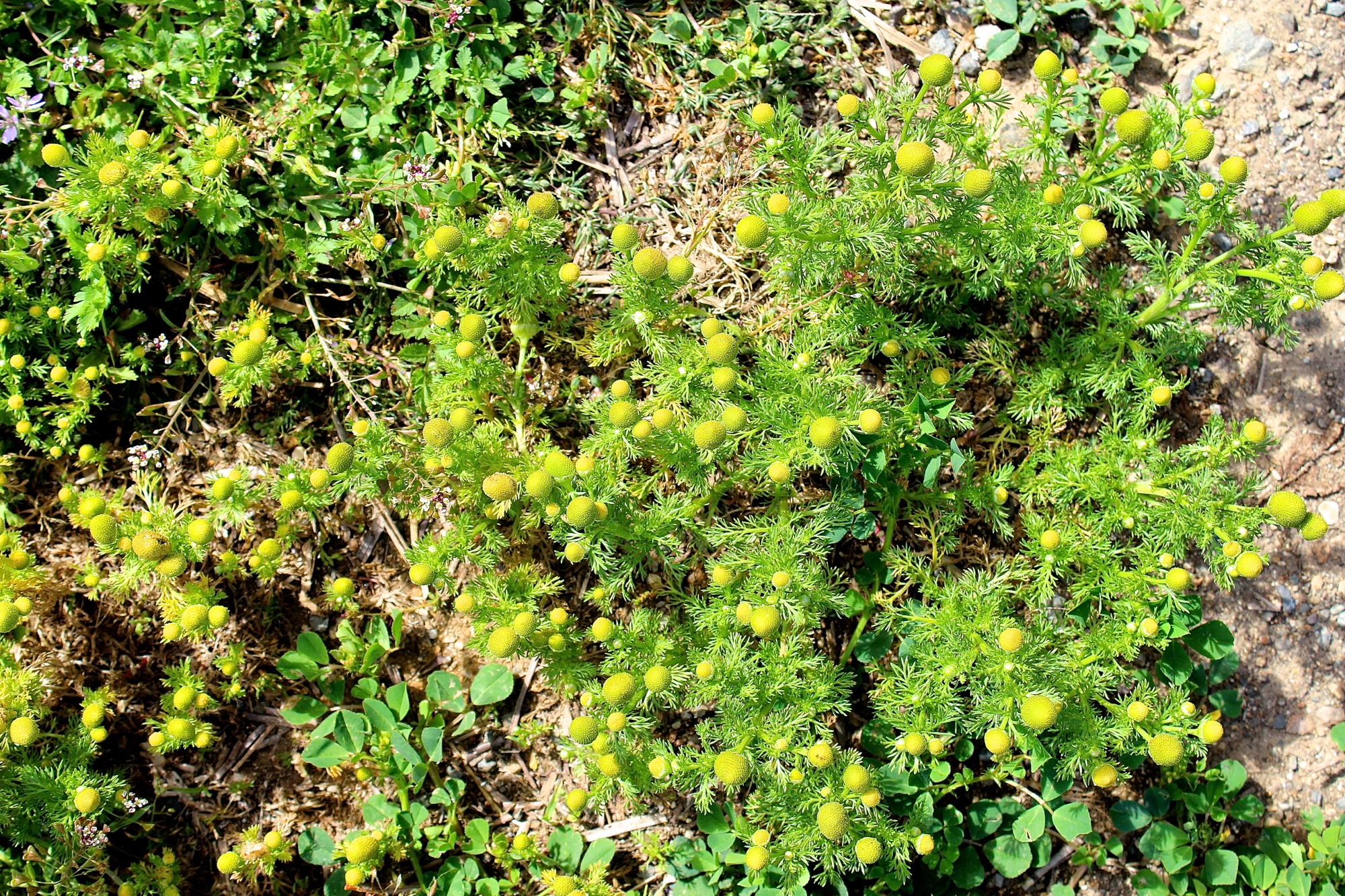 Abundant pineapple weed at the Peralta Community Garden - the members had no problem with my taking as much as I wanted.