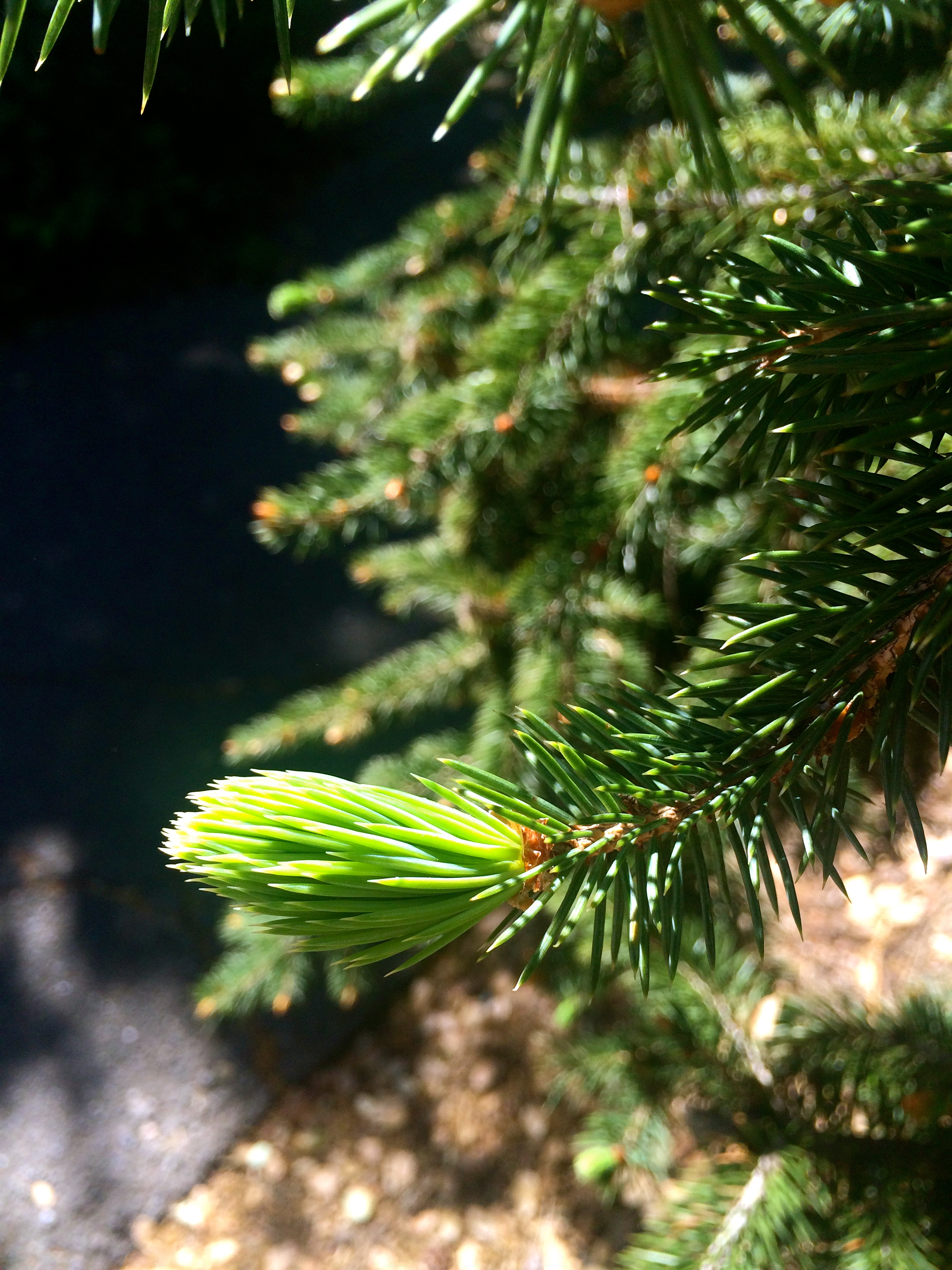 Bright young spruce tips.