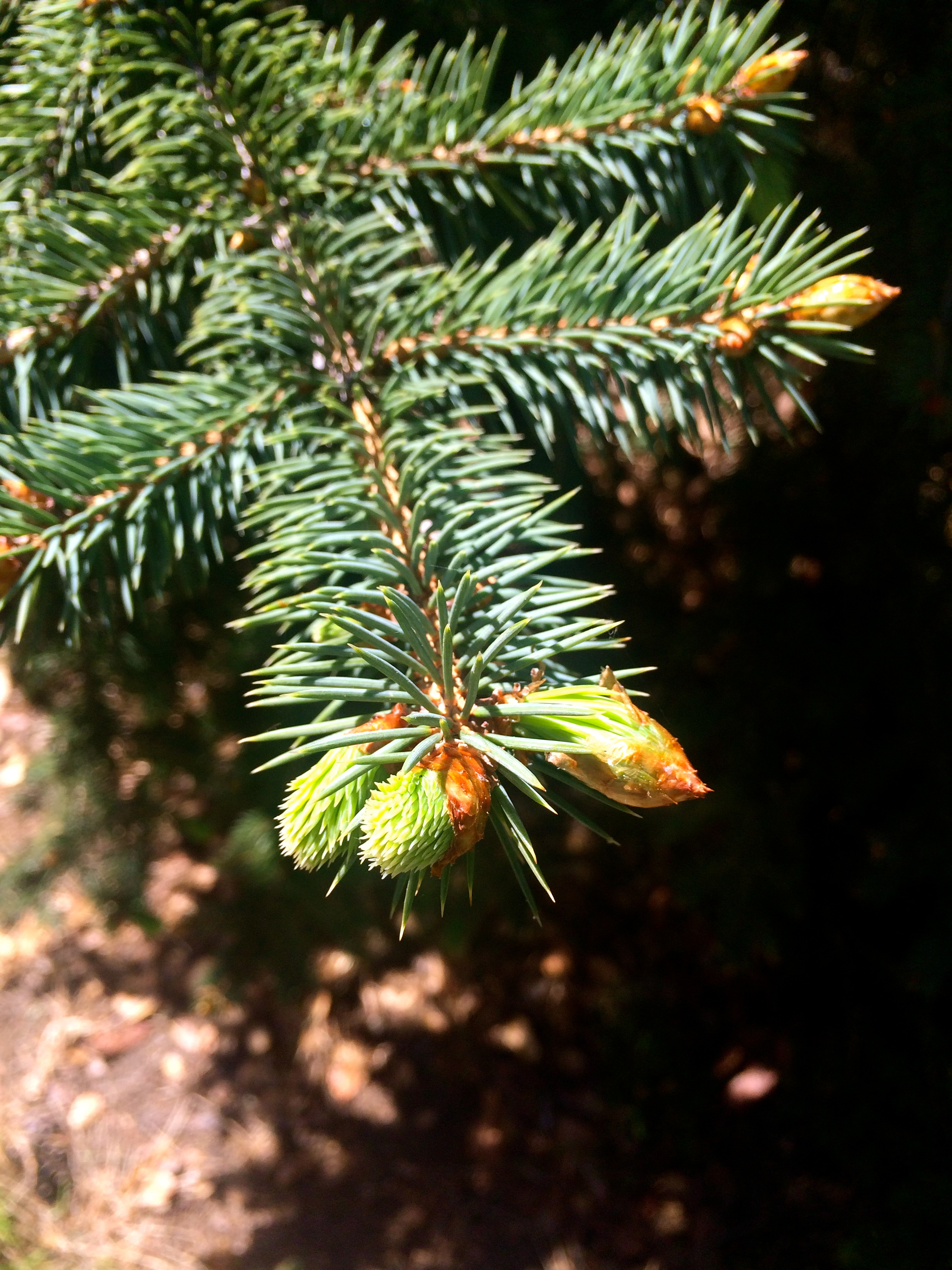 Spruce tips pushing through their brown papery casings.