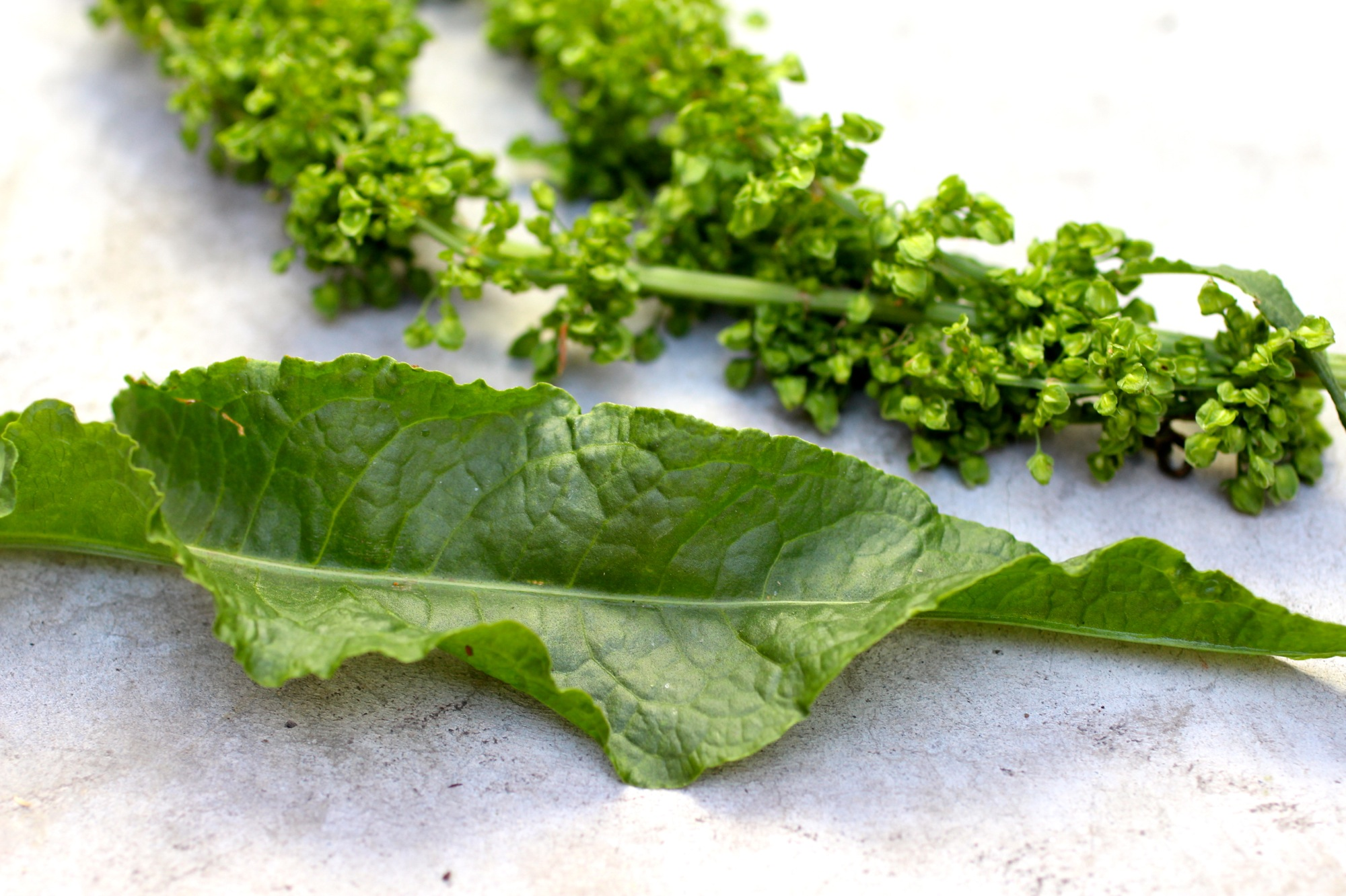 "Rumex crispus , or ""curly dock"" leaf and seeds."