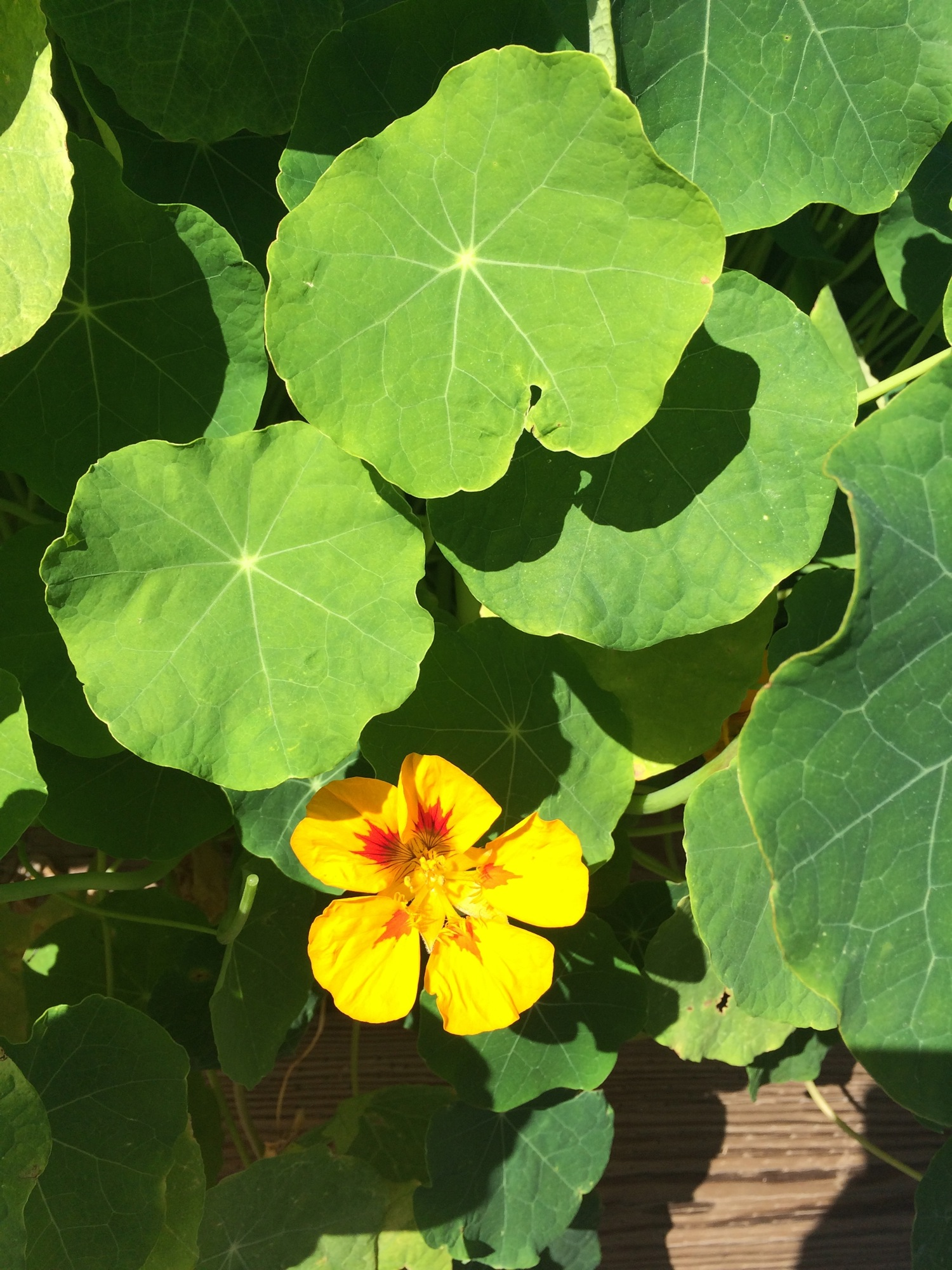 The nasturtium plant in all its glory.
