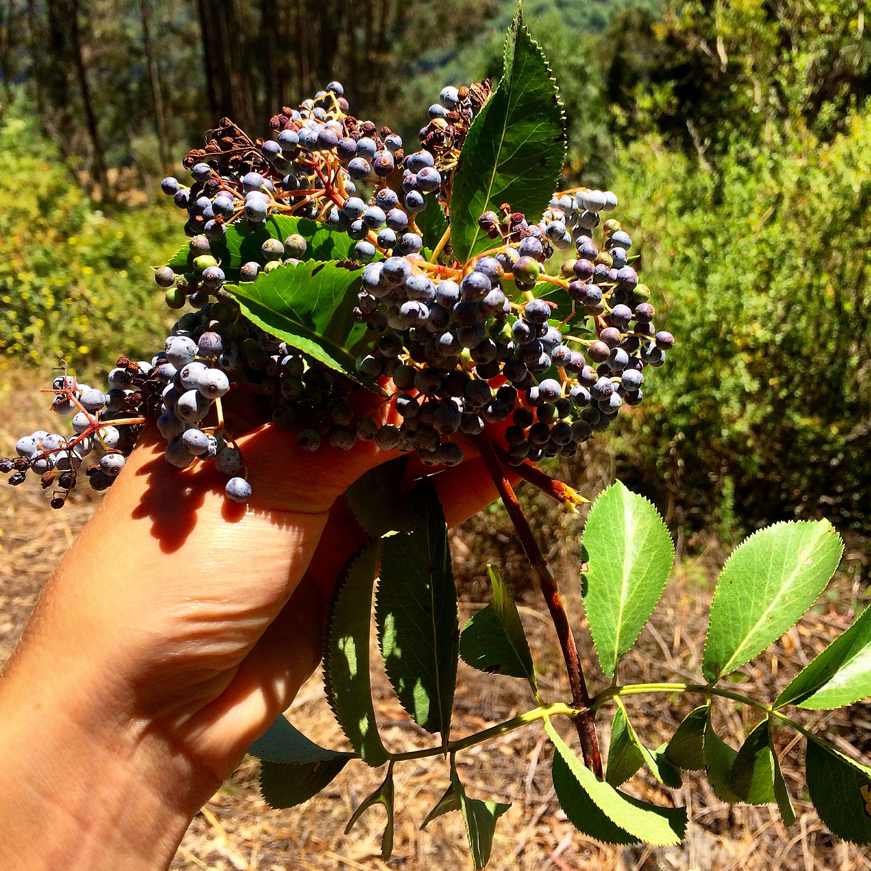 Harvesting elderberries.