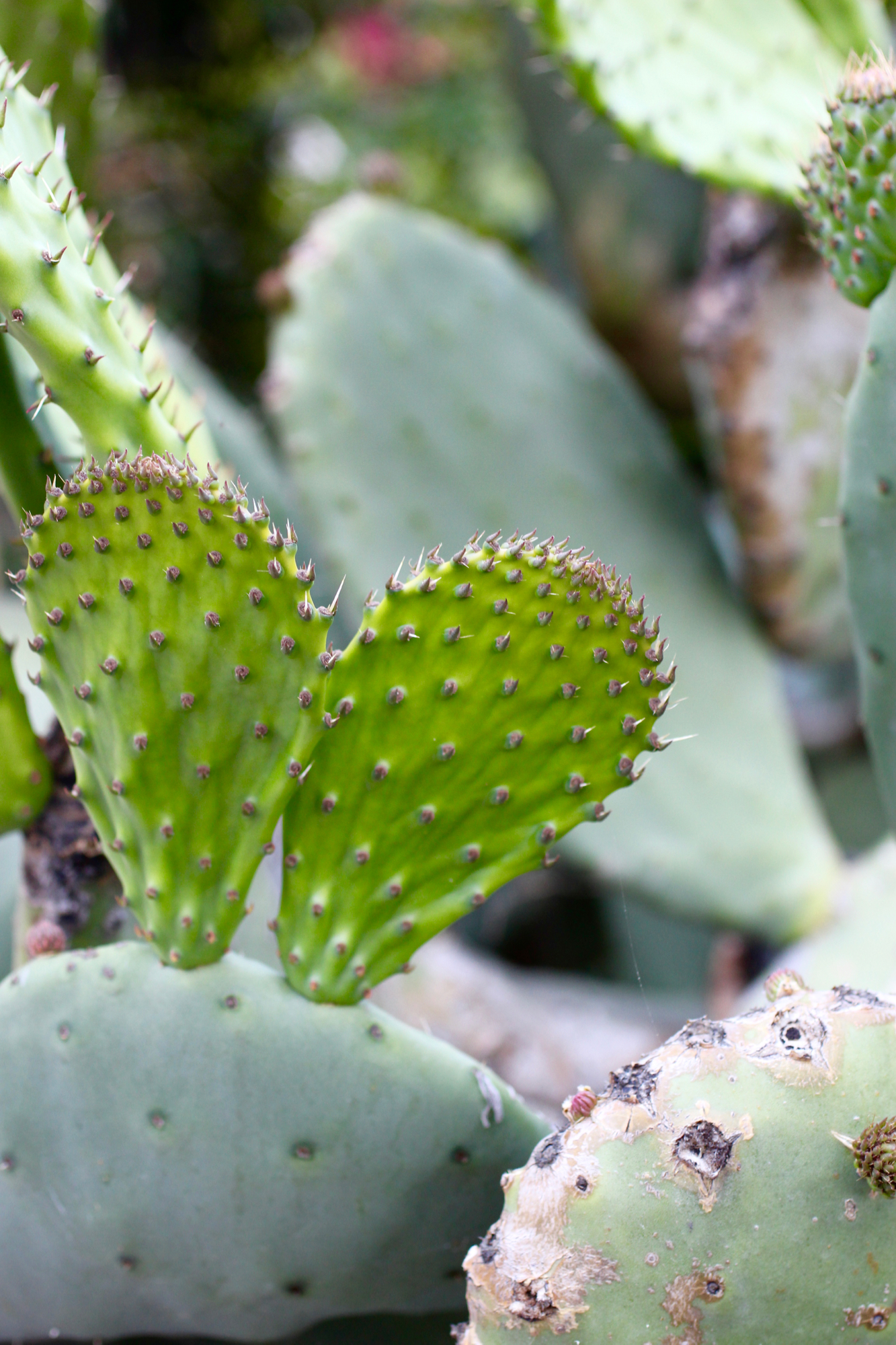 Nopales (cactus pads) that are at optimal tenderness - just remember to remove the spines!