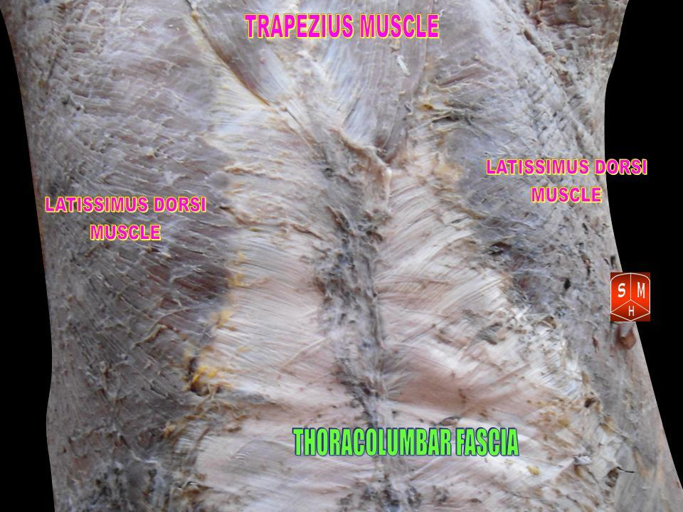 The fascial web begins just beneath the skin and is a continuous 3 dimensional matrix.