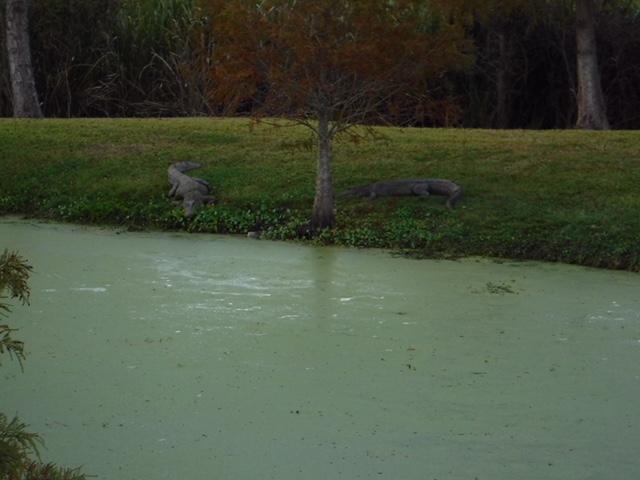 Gators at the Woodland Plantation outside of Port Sulphur, Louisiana.
