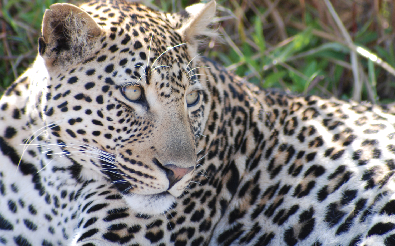 Animals_leopard_1_web.jpg
