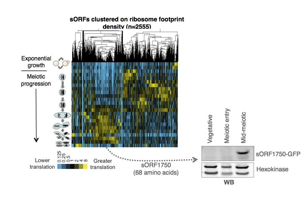 Hierarchical clustering of ribosome footprint density over the ~2500 short ORFs that we identified as translated in meiosis.  Most of these are meiosis specific and highly regulated. The inset Western blot shows that the expression of these sORFs can be confirmed by classical methods.