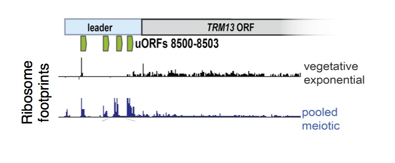 uORF translation is enriched in meiotic cells.  Ribosome footprints are plotted over a sample gene,  TRM13 , showing enrichment for ribosomes in the 5' leader region (commonly called the 5'UTR) in meiosis. These uORFs (annotated in green) represent just 4 of over 10,000 uORFs that we identified to be translated in meiosis, suggesting a noncanonical mode of translation in these cells.