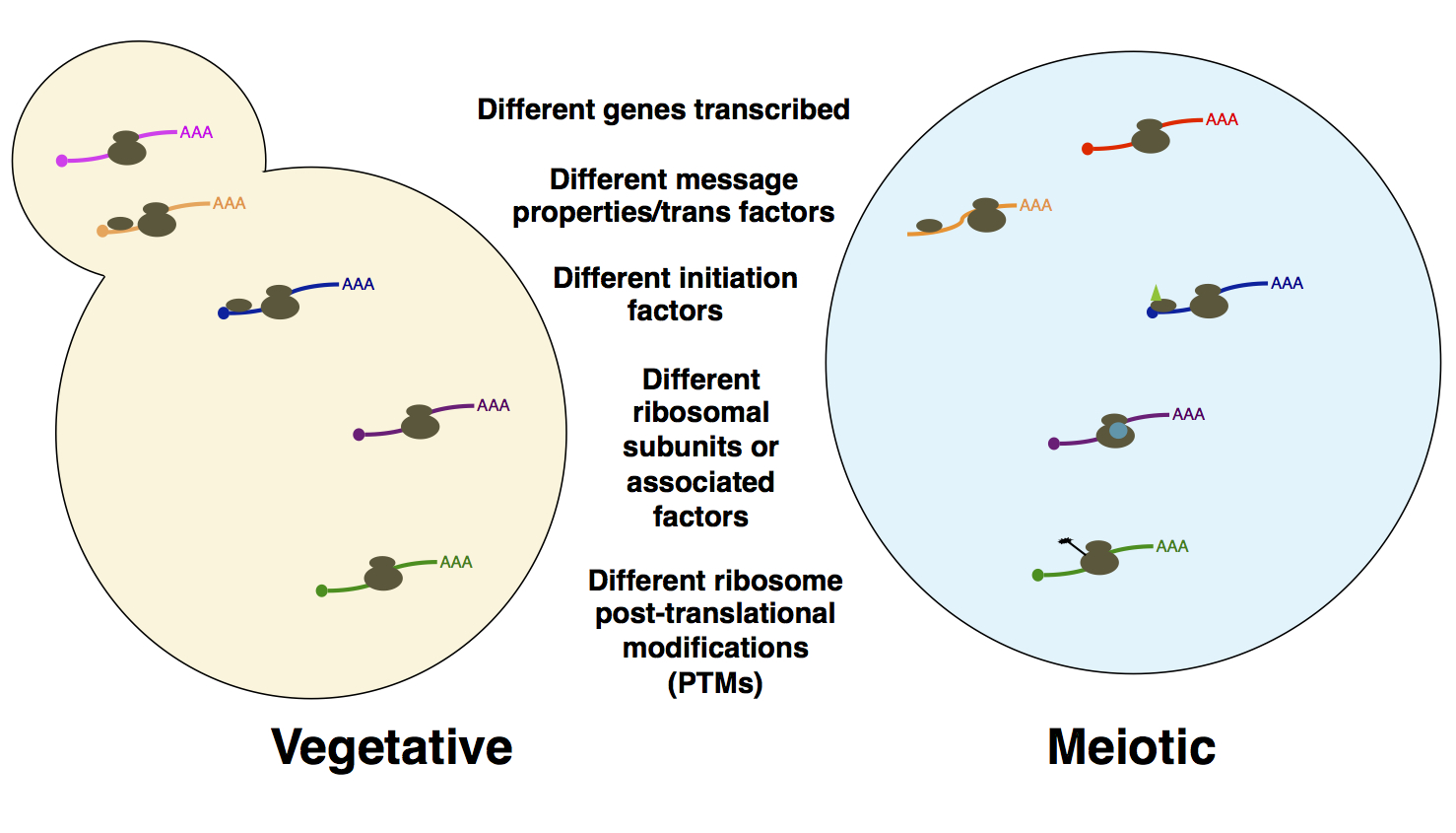 Probing the basis for noncanonical translation in meiotic cells.  A number of factors that may be responsible for the unusual degree of dynamic translational regulation and uORF translation in meiosis are shown. We are systematically probing examples of cis- and trans- factors like those outlined here, with the goal of understanding what is special about translation (particularly translation initiation) in meiosis.