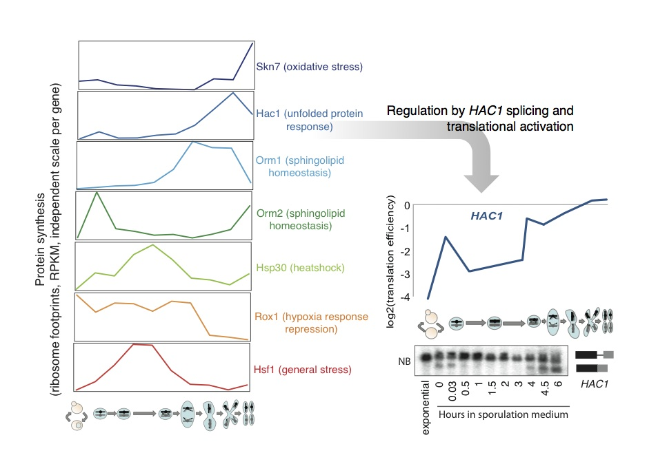 Stress responses are turned on at discrete times in meiosis. Translation of various factors involved in canonical stress responses over meiosis is shown. These factors are induced at the level of protein synthesis in the absence of their characterized external stimulus. To the right is a more detailed view of UPR induction, as determined by Hac1 translation and splicing of the HAC1 message.