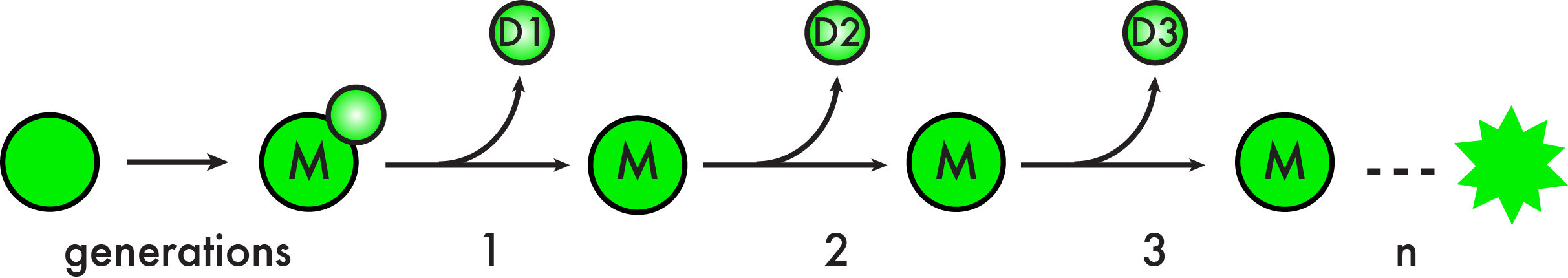 Replicative lifespan in budding yeast is measured by the total number of cell divisions a mother cell (M) undergoes to produce its daughters (D).