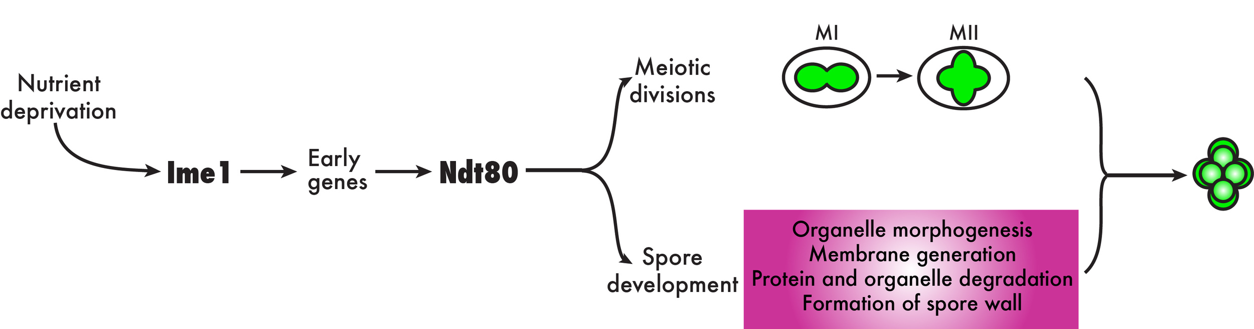 Transcriptional regulation of gametogenesis in budding yeast