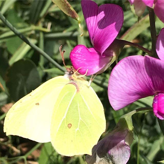 Hun er fan af alle vores blomster i haven 🌸💕 #nofilter #sommer #sommerfugle #naturen