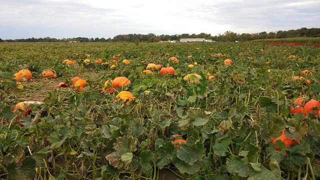Actual pumpkins growing in a field