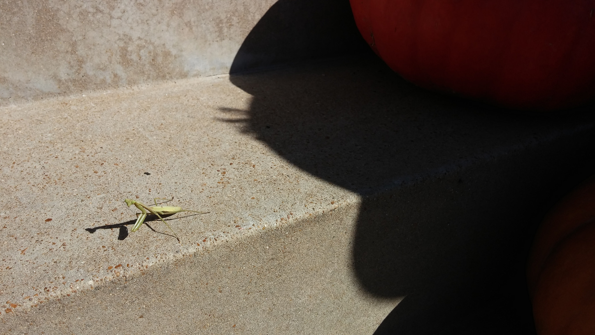 Preying Mantis on my front steps, right before the dog stepped on it. :(