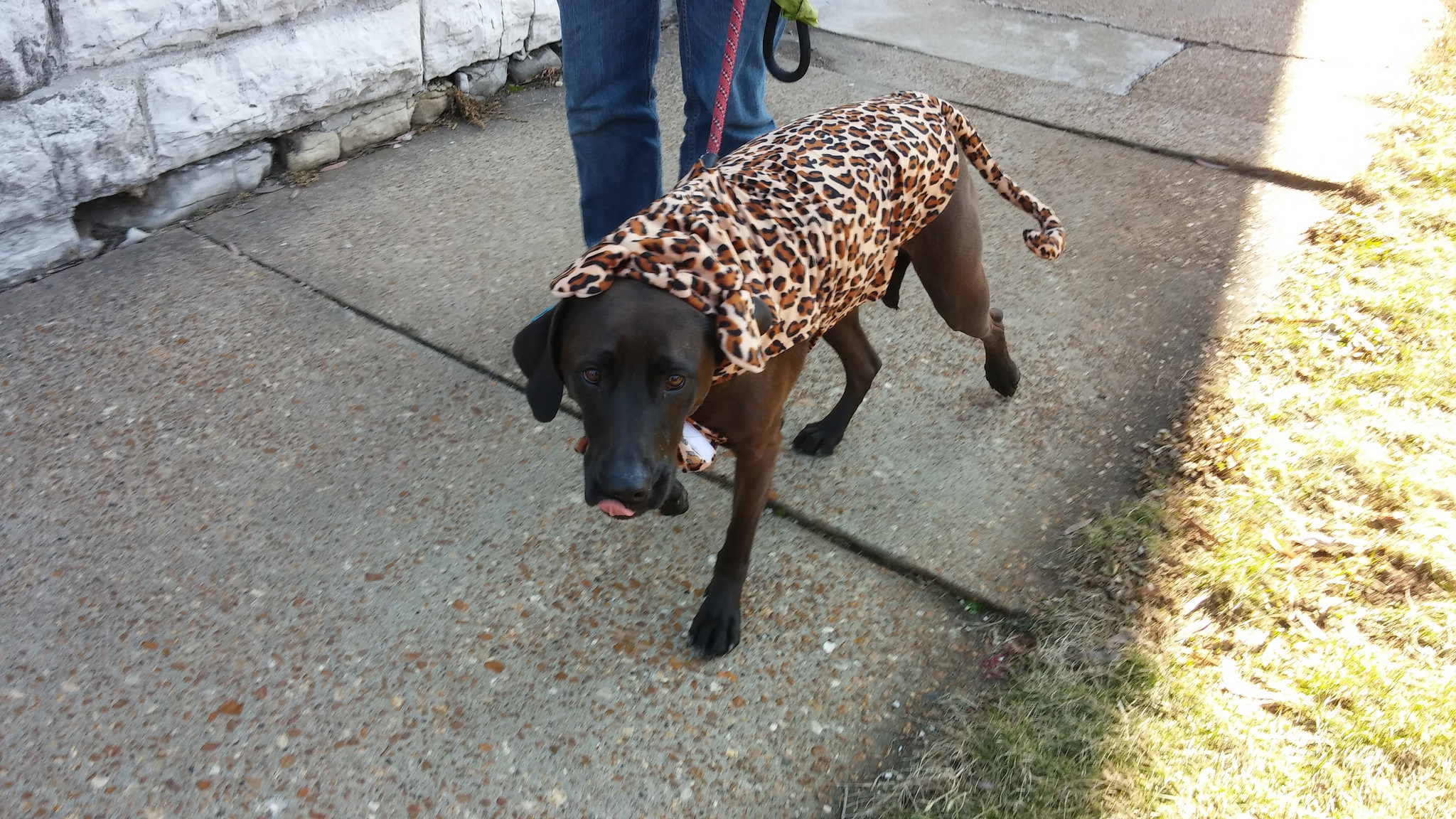 Hazel dressed a cheetah for the pet parade earlier this month.