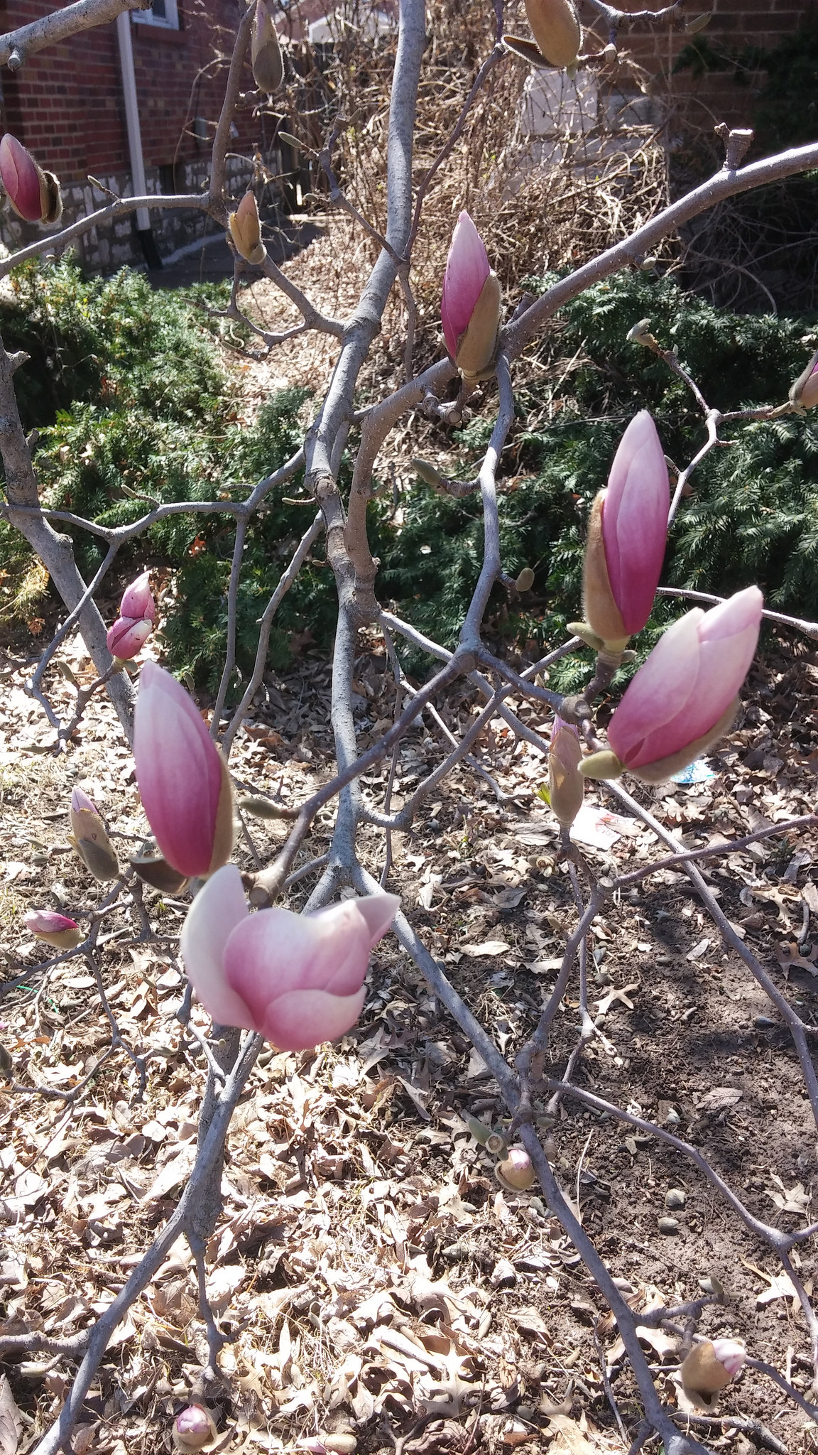A pretty magnolia tree ready to bloom at any minute!