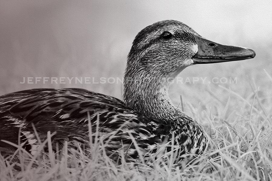 duck, ducks, jeffrey nelson photography, landscape photographer, downtown skyline, westlake village, nbcla,