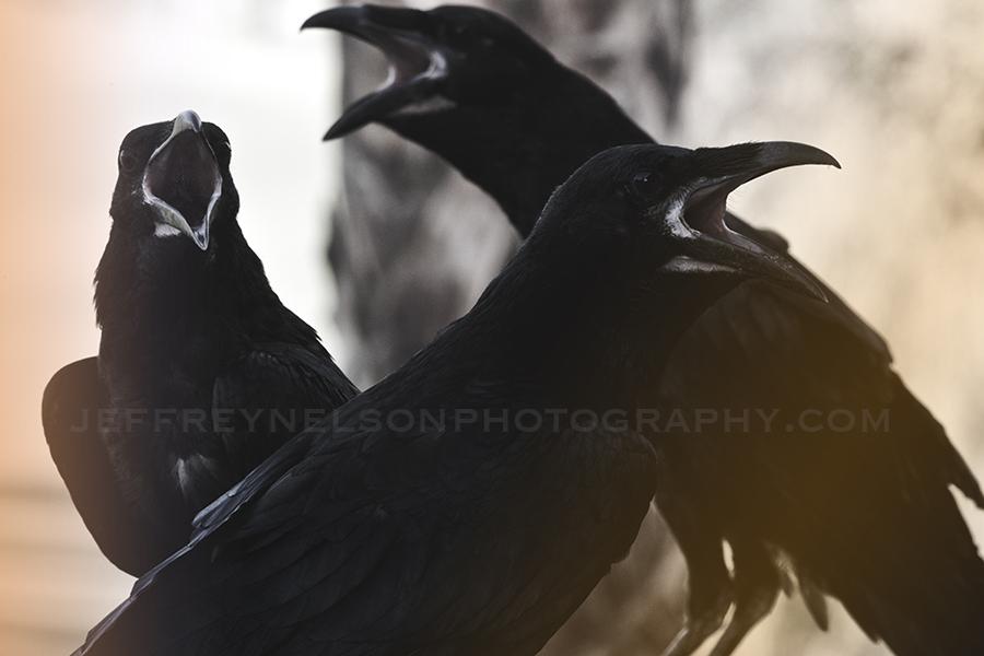 The Crow, birds, jeffrey nelson photography, landscape photographer, downtown skyline, westlake village, nbcla,