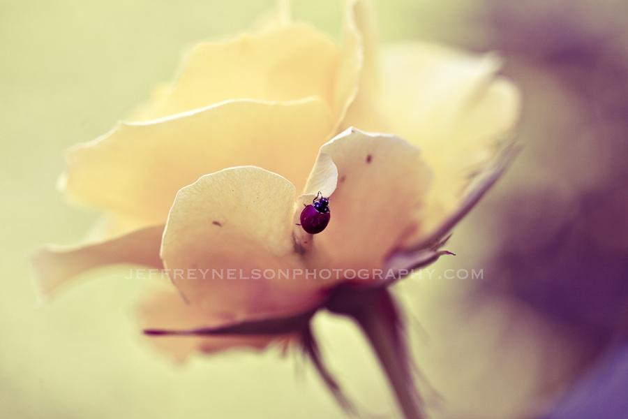 lady bug, flowers, real photo, jeffrey nelson photography
