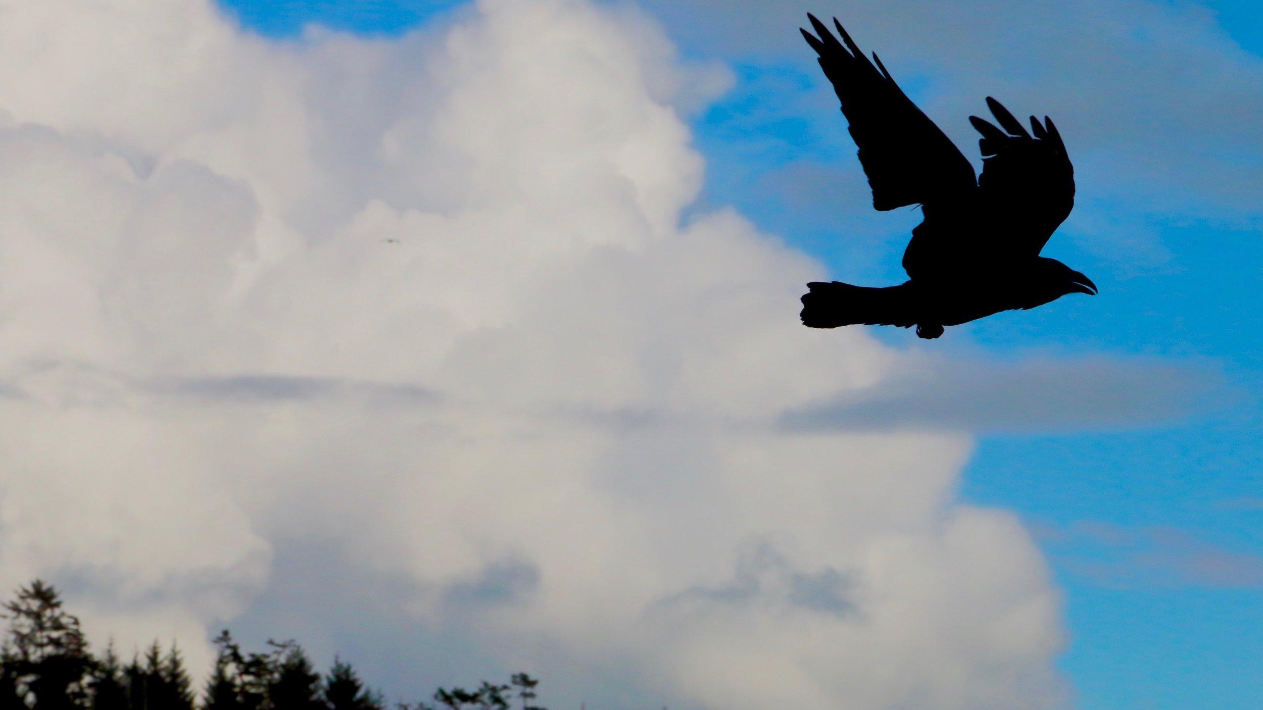 Crow flies in Canada