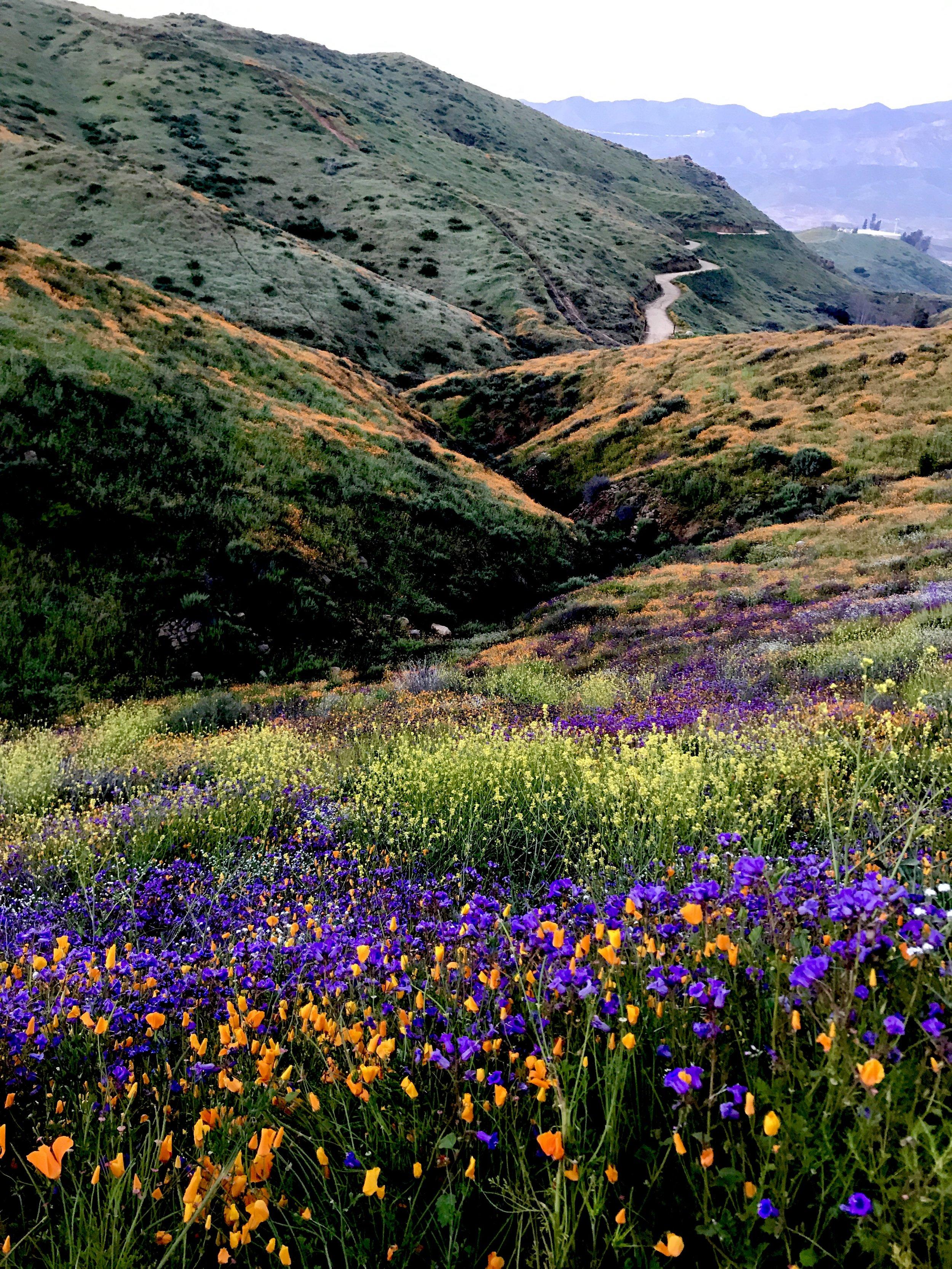 Flowers bloom in California