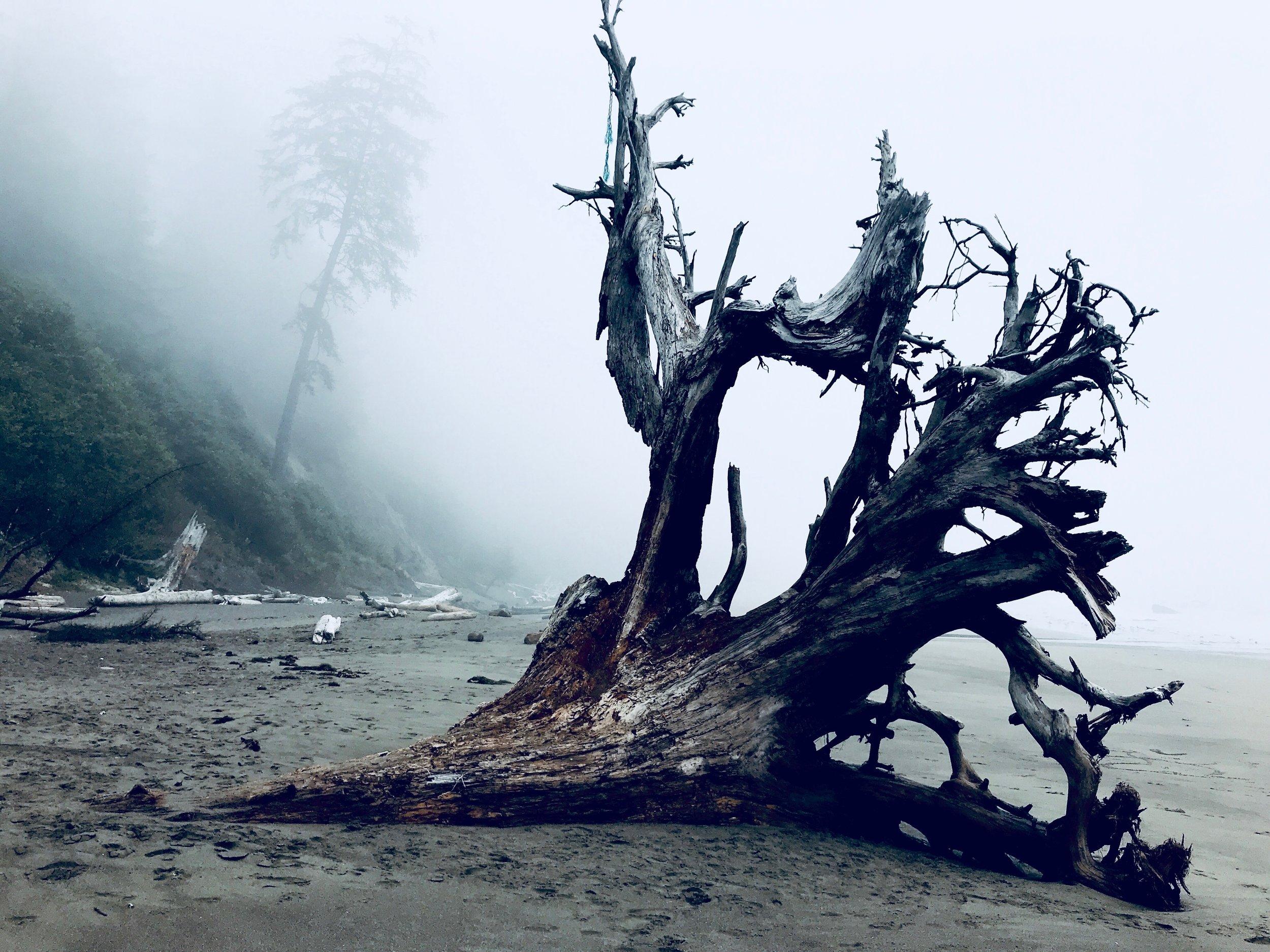 Fallen tree in Oregon