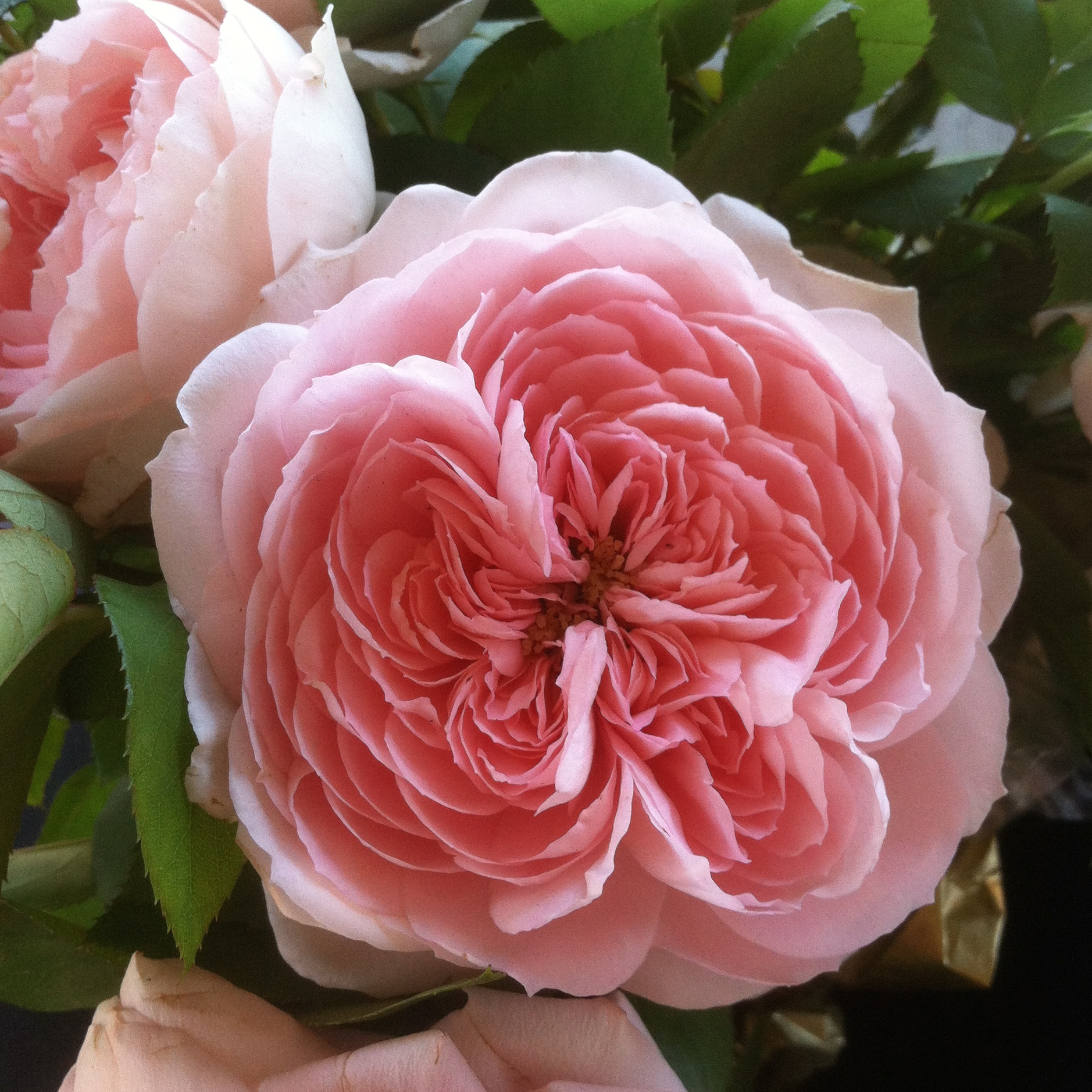 A beautiful bunch of garden roses with a rich fragrance and the most beautifully shaped petals.
